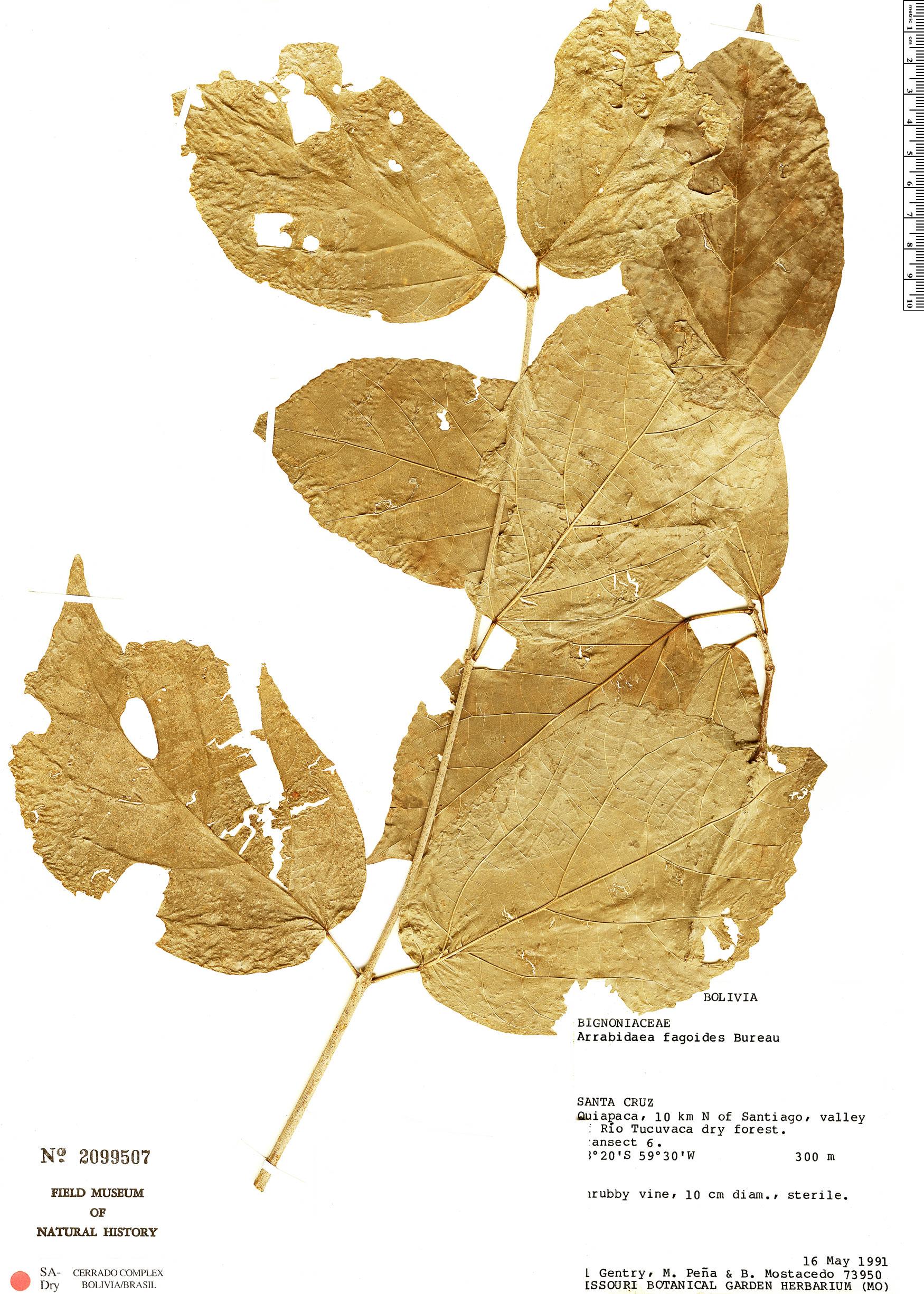 Specimen: Fridericia fagoides