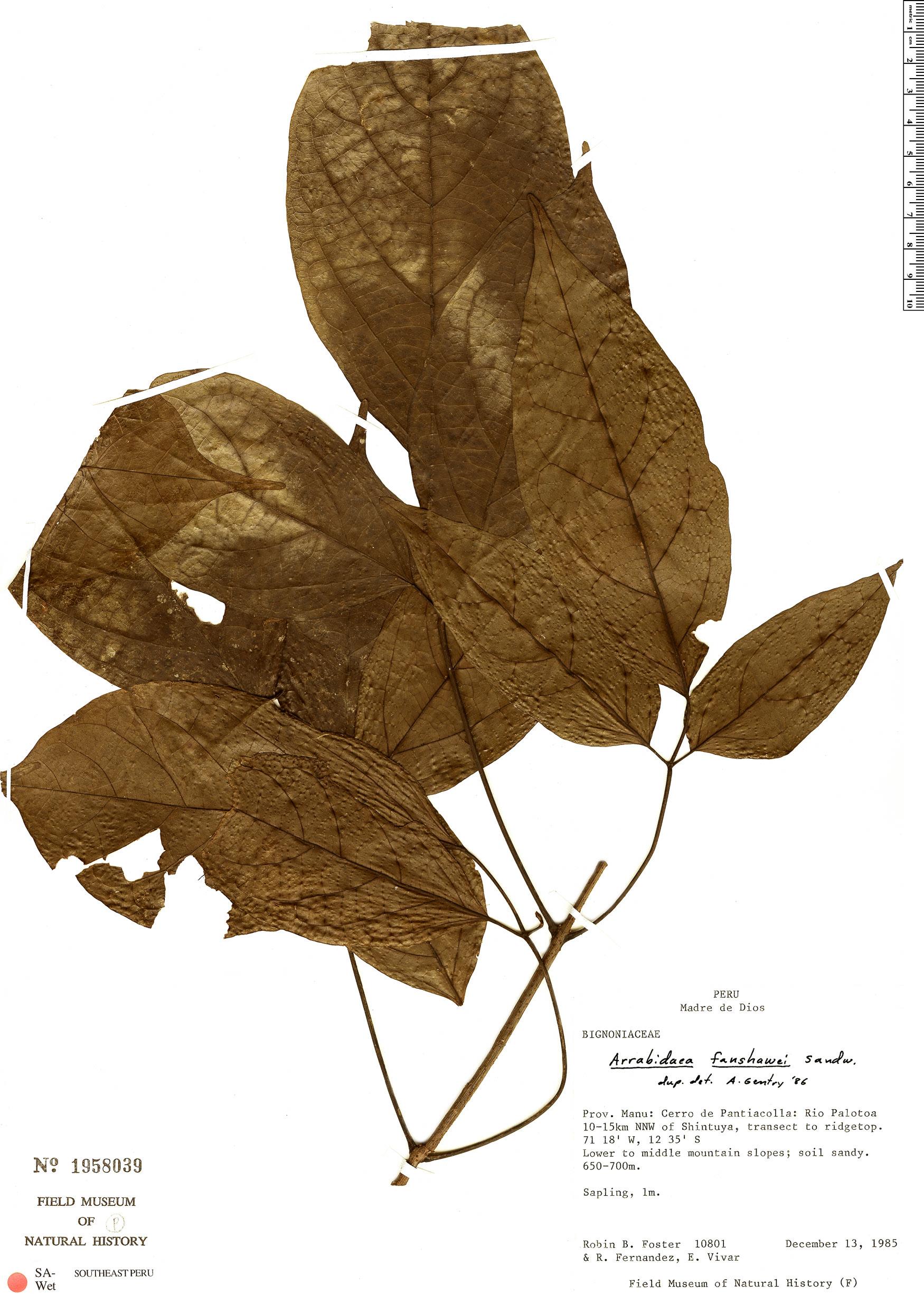 Specimen: Fridericia fanshawei