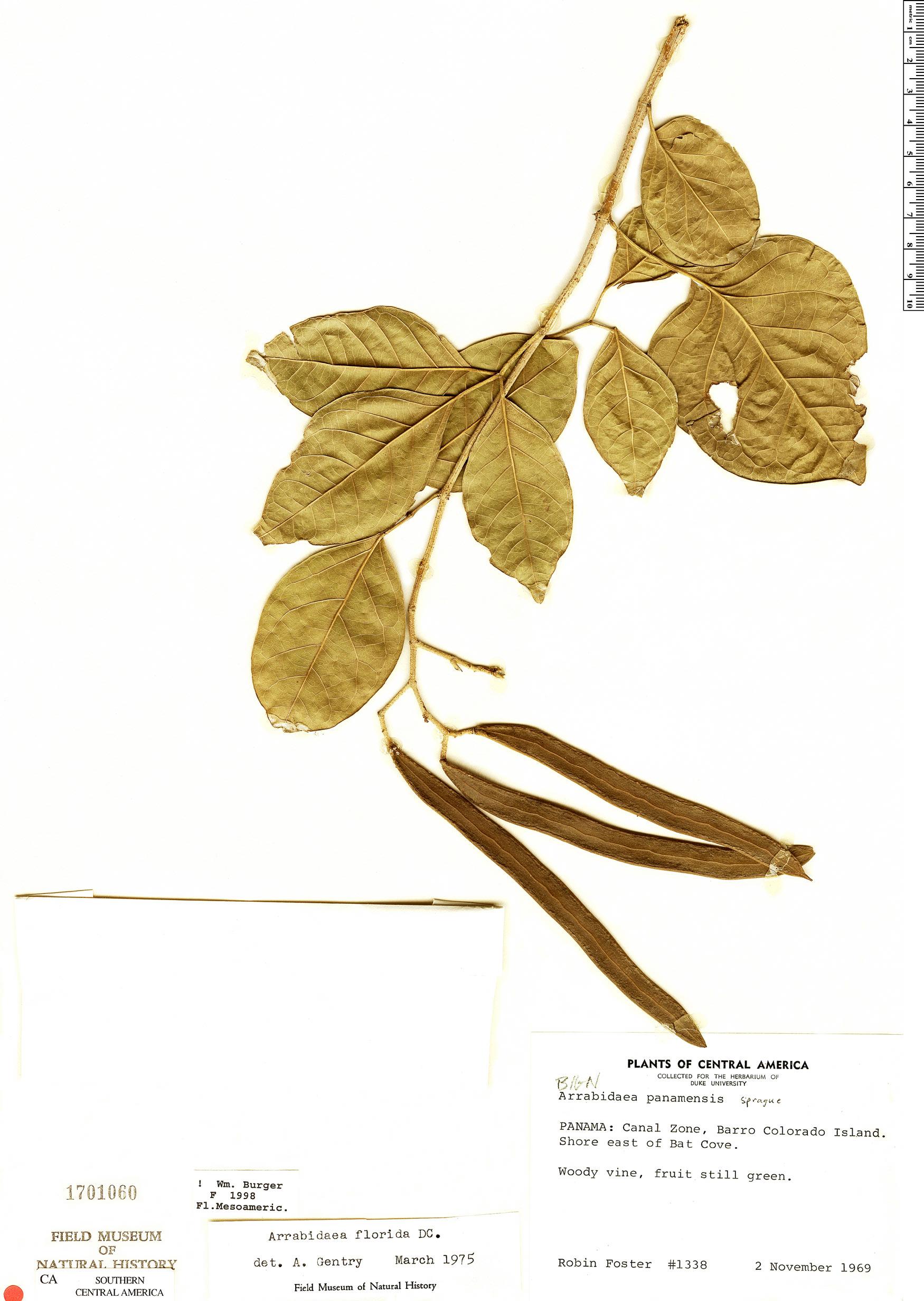 Espécimen: Fridericia florida