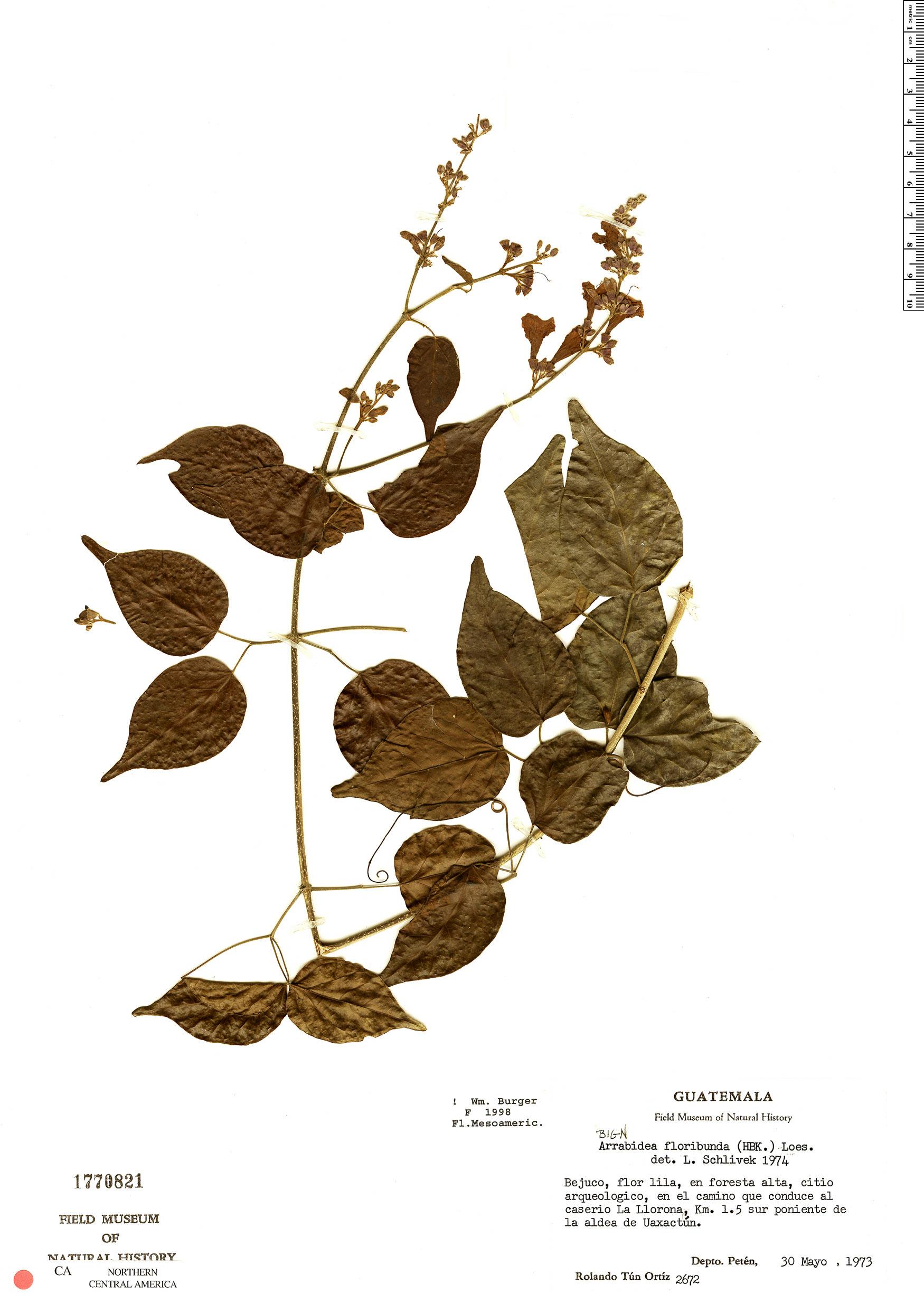 Specimen: Fridericia floribunda