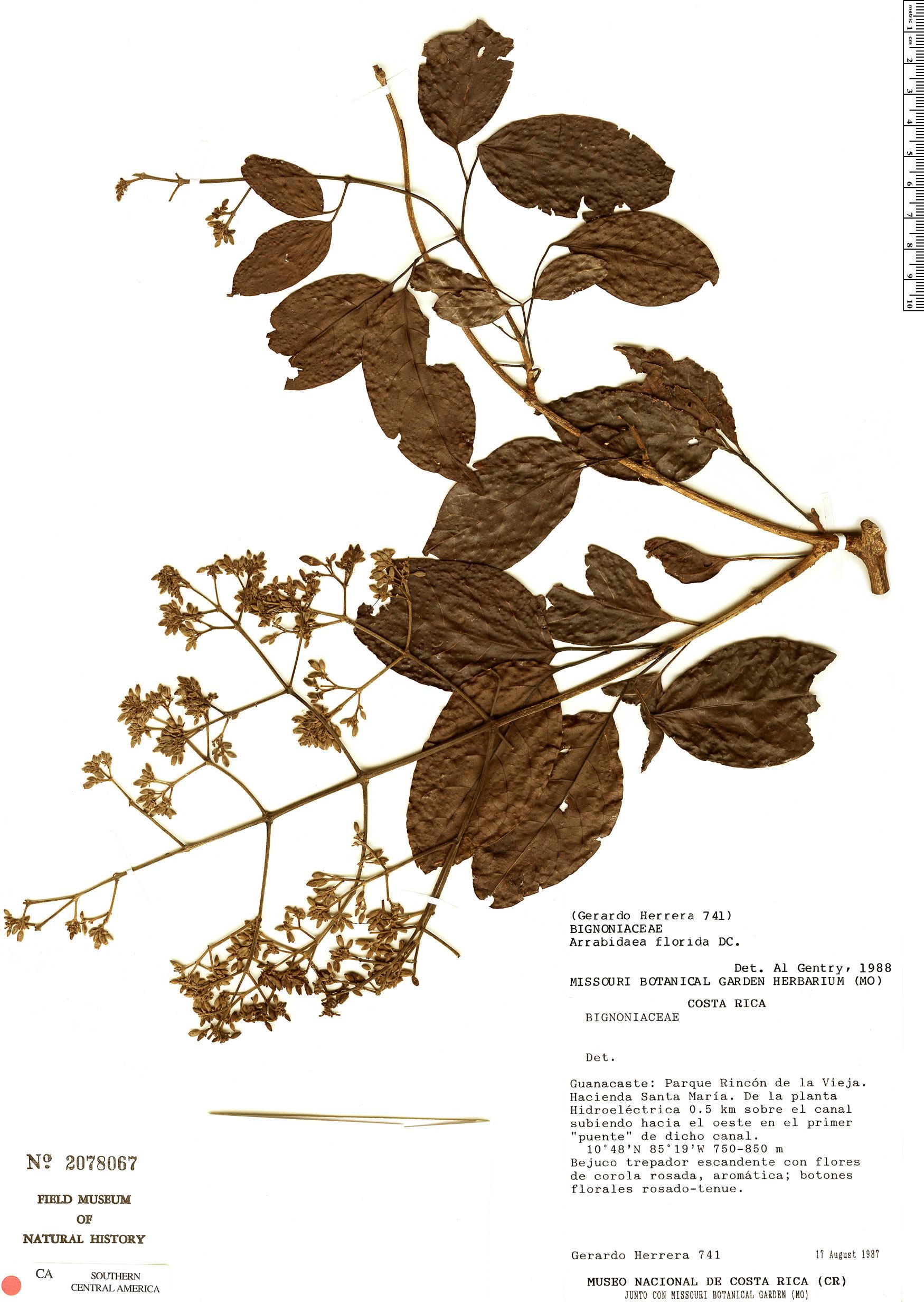 Espécime: Fridericia florida