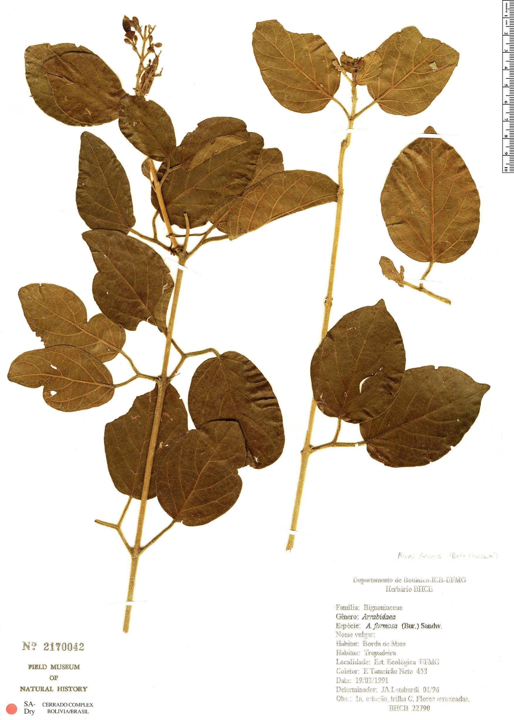 Specimen: Fridericia formosa