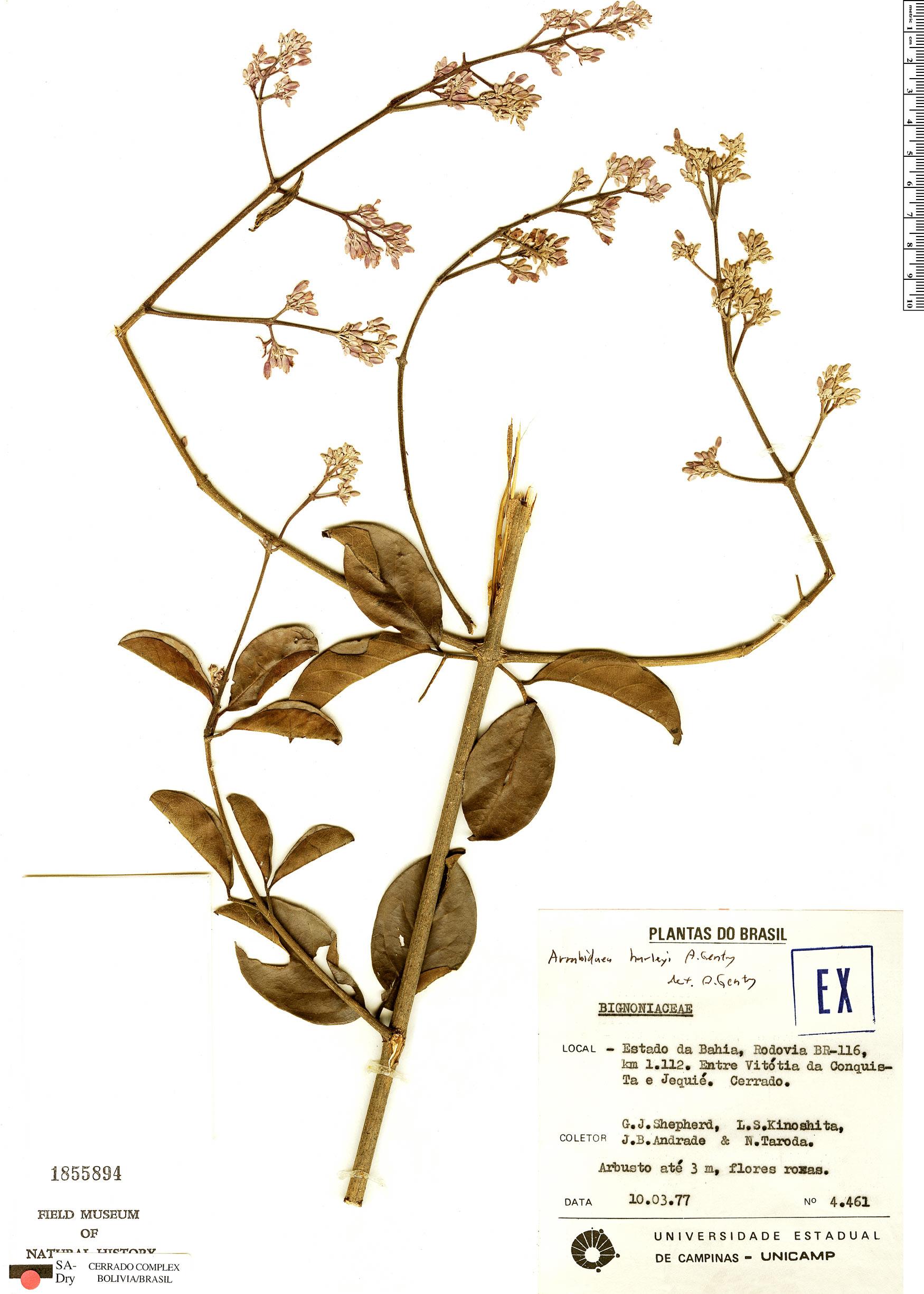 Specimen: Xylophragma harleyi