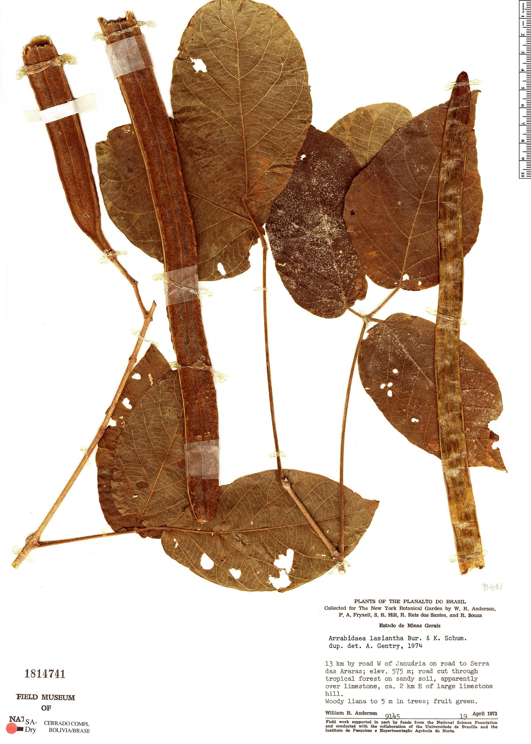 Specimen: Cuspidaria lasiantha