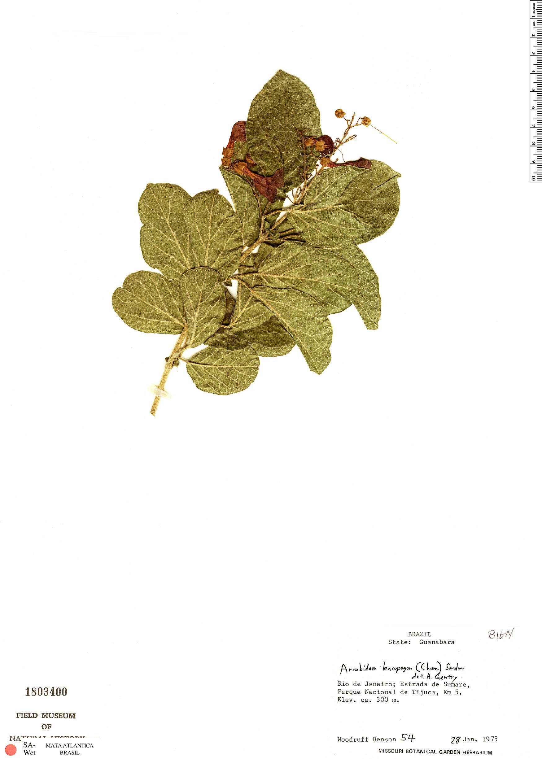 Specimen: Fridericia leucopogon