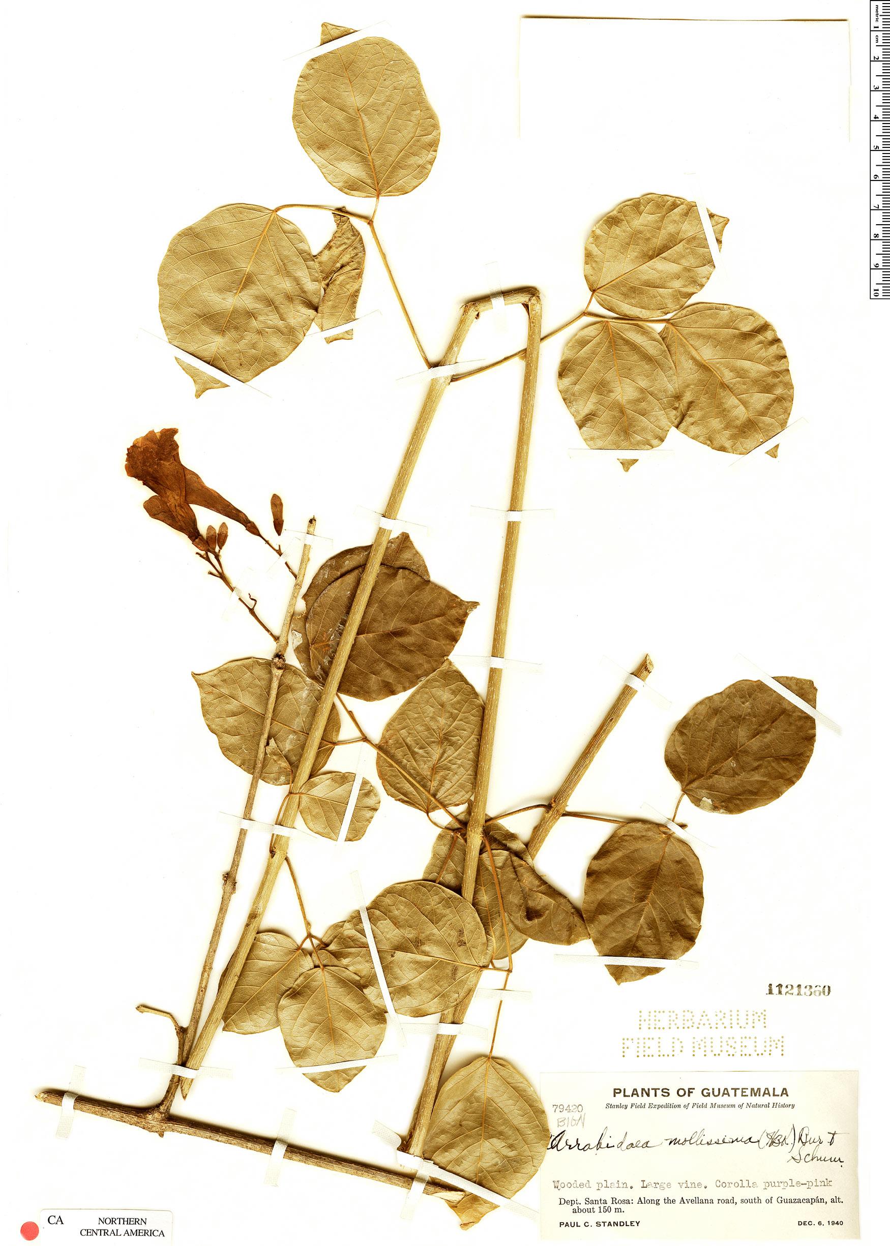 Specimen: Fridericia mollissima