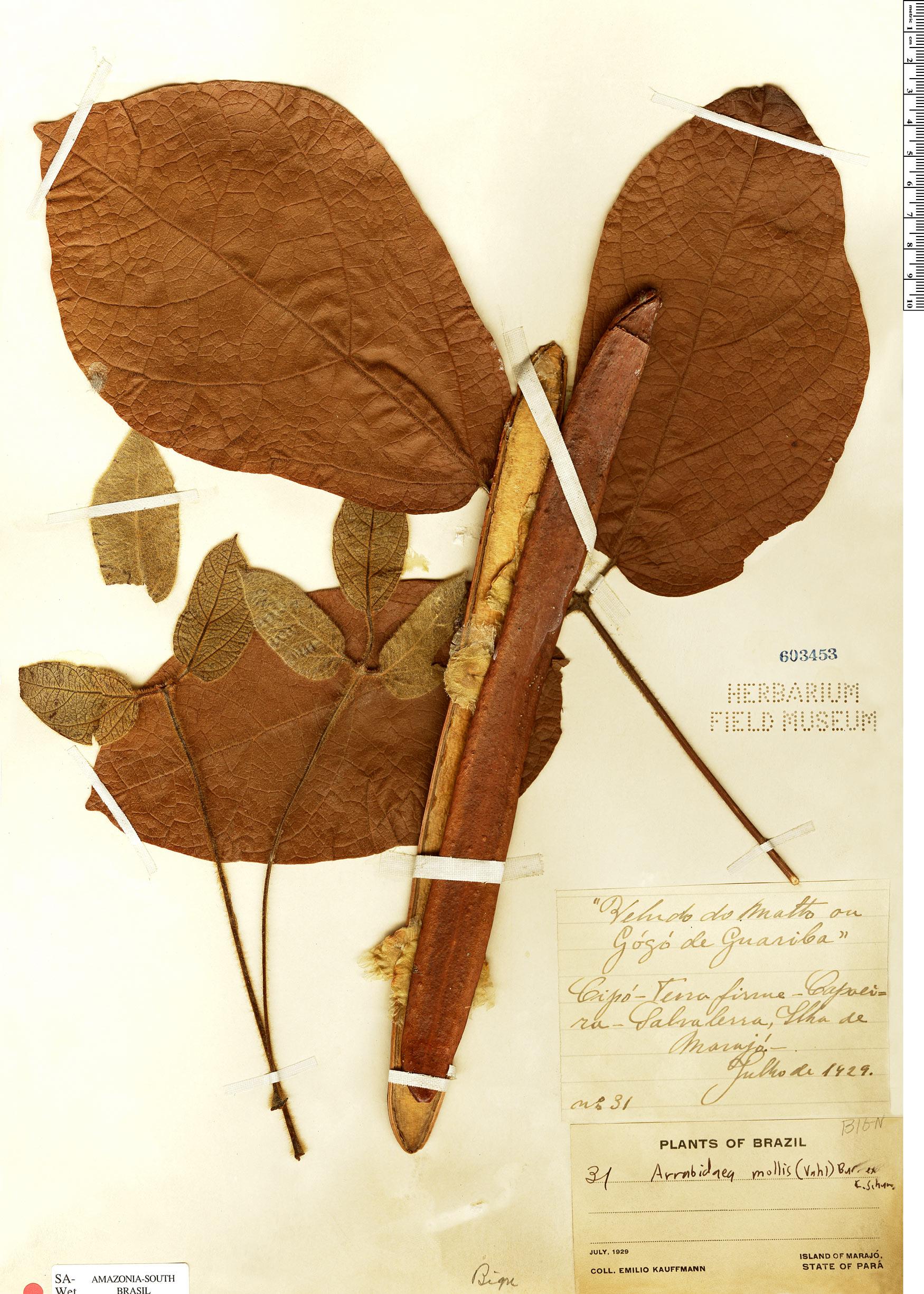 Specimen: Fridericia mollis