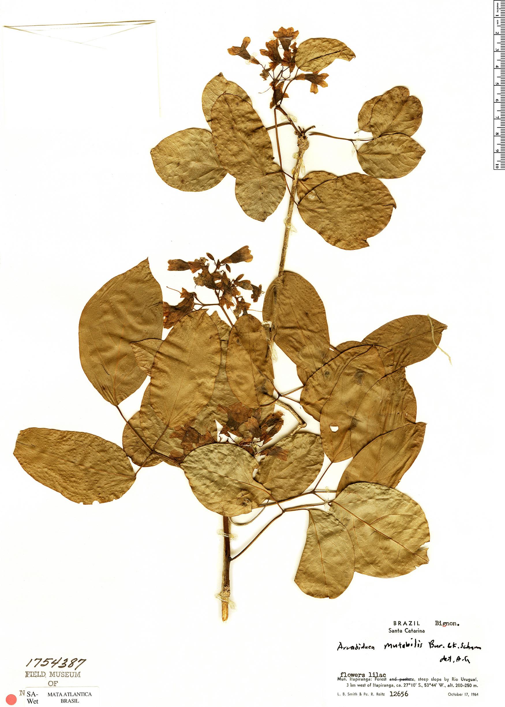 Specimen: Tanaecium mutabile
