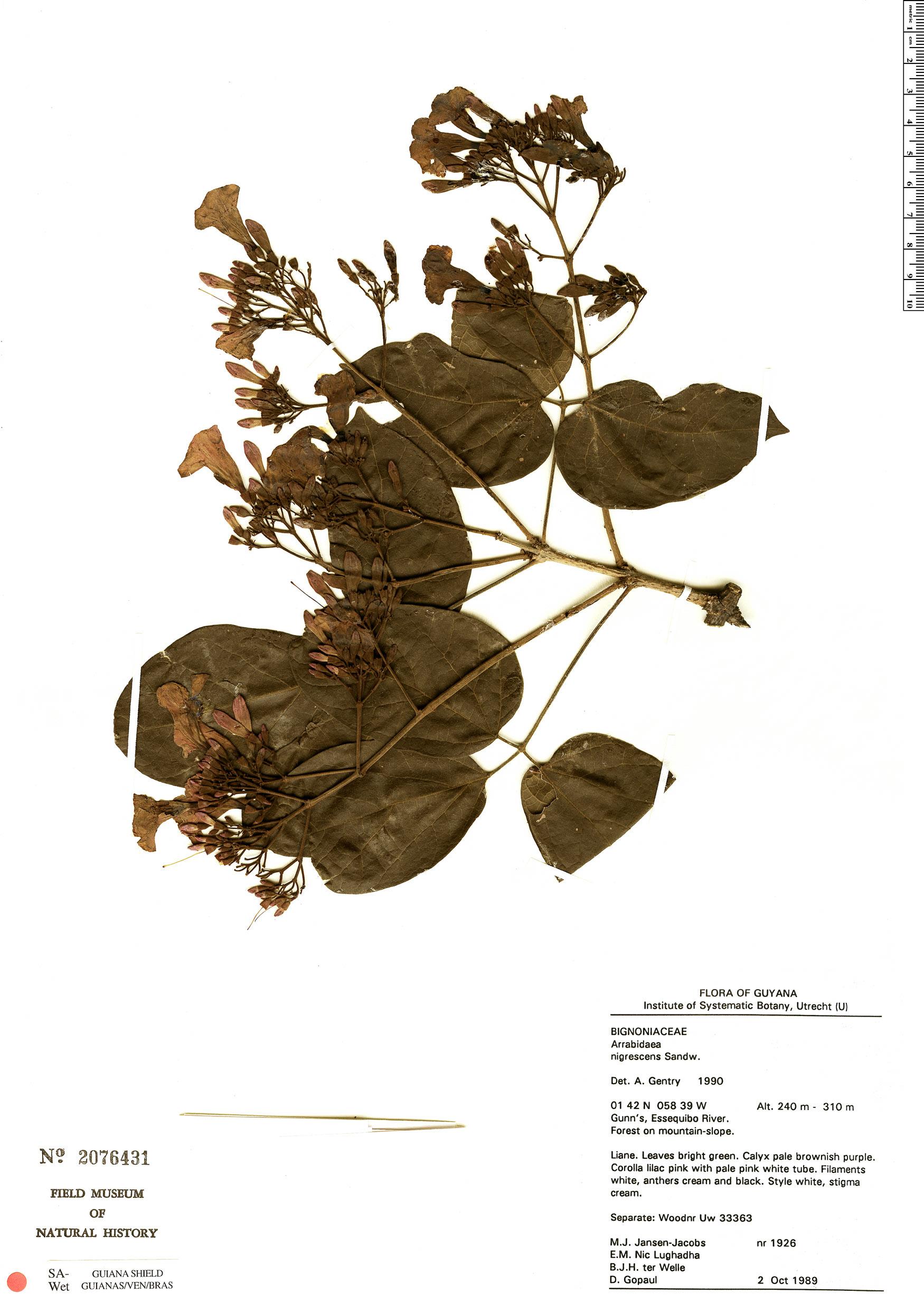 Specimen: Fridericia nigrescens