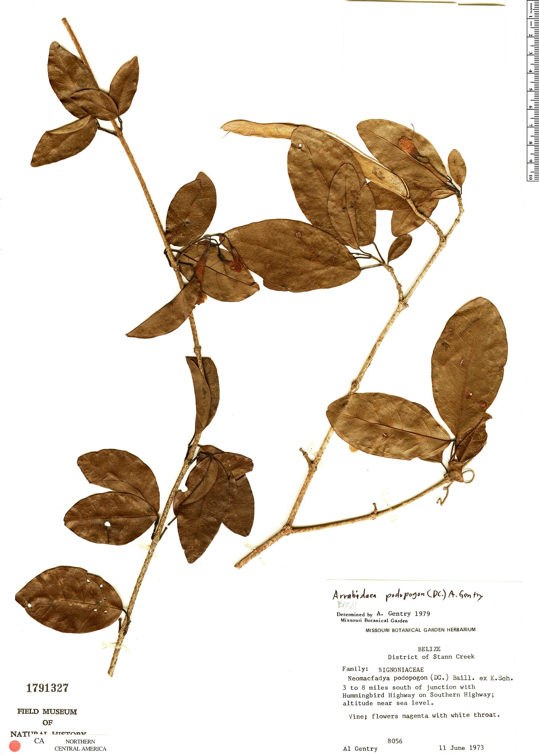 Specimen: Fridericia podopogon