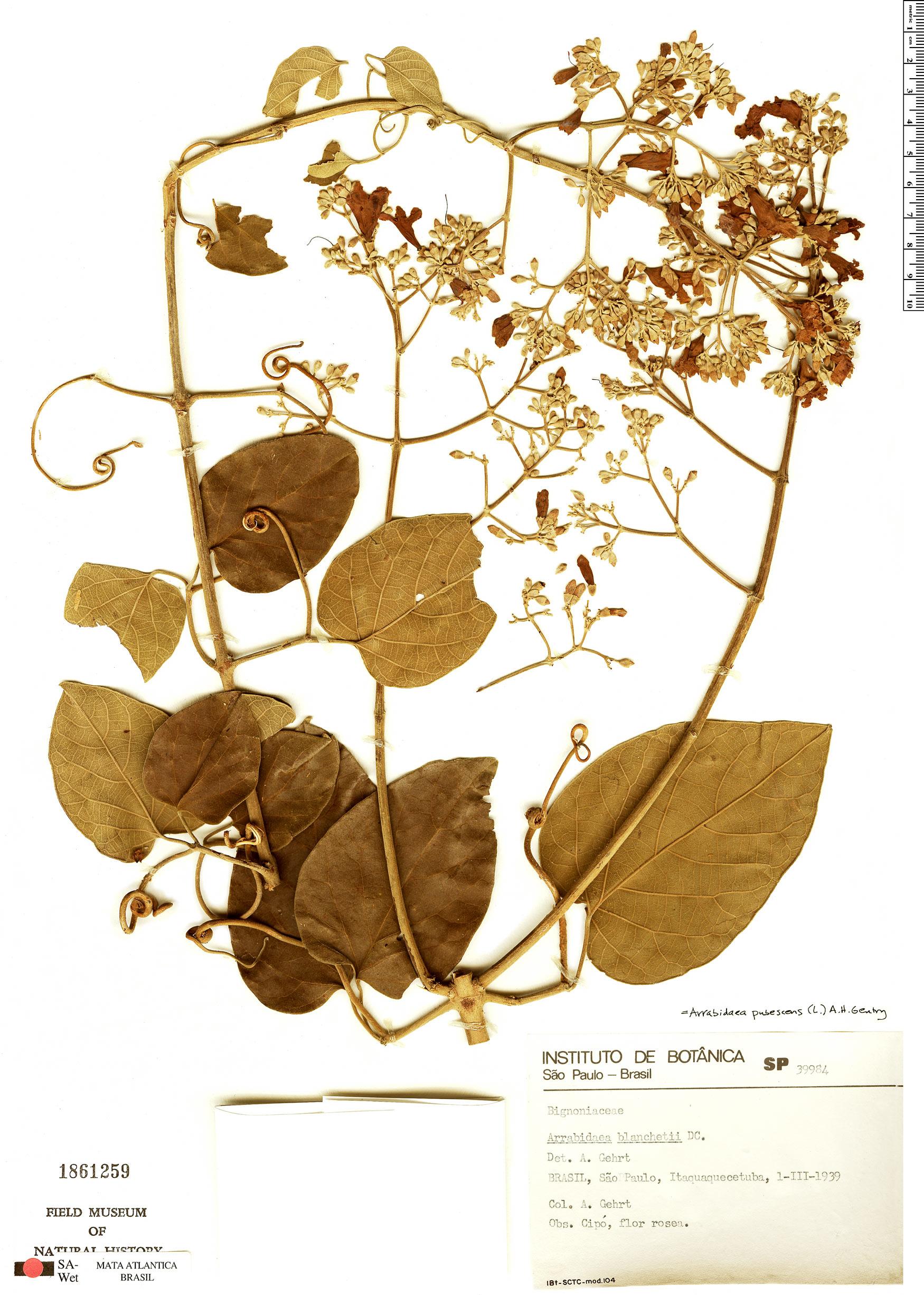 Specimen: Fridericia pubescens