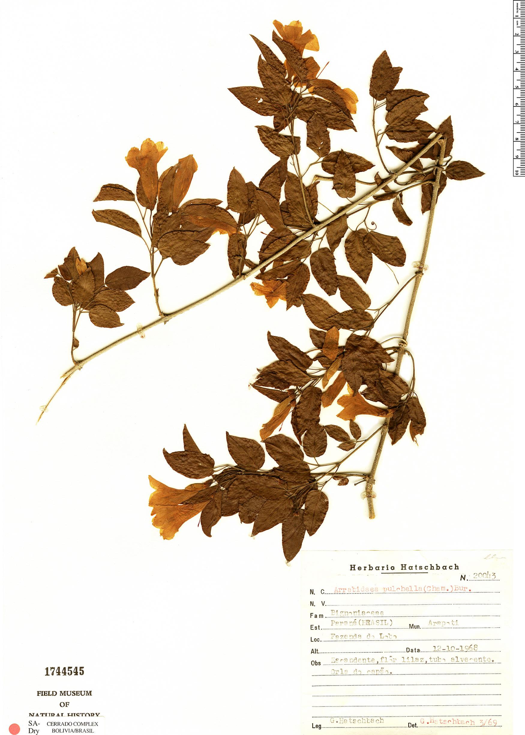 Specimen: Cuspidaria pulchella