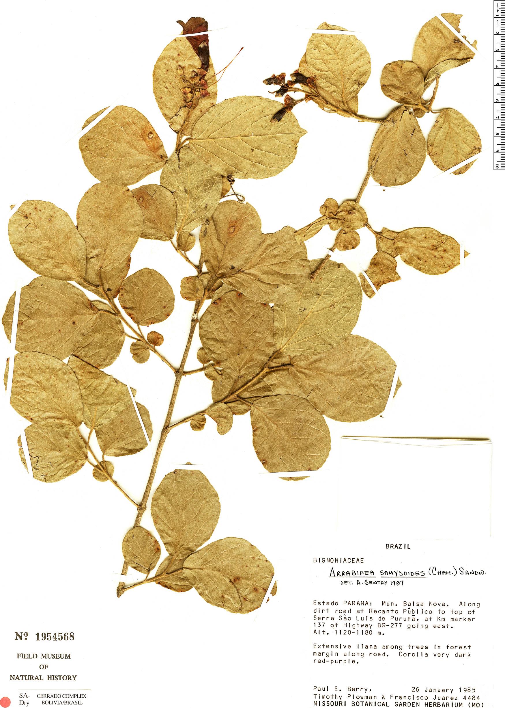 Specimen: Fridericia samydoides