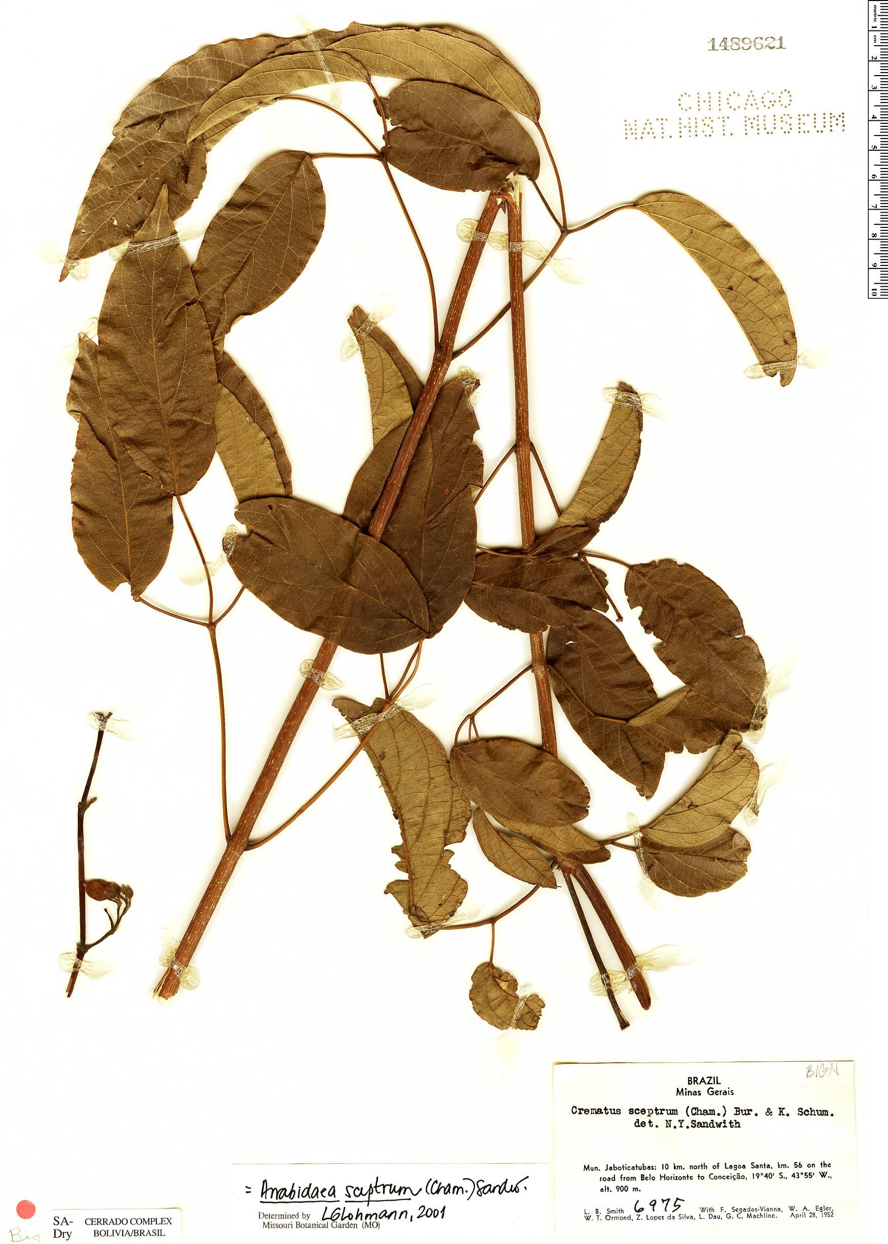 Specimen: Cuspidaria sceptrum