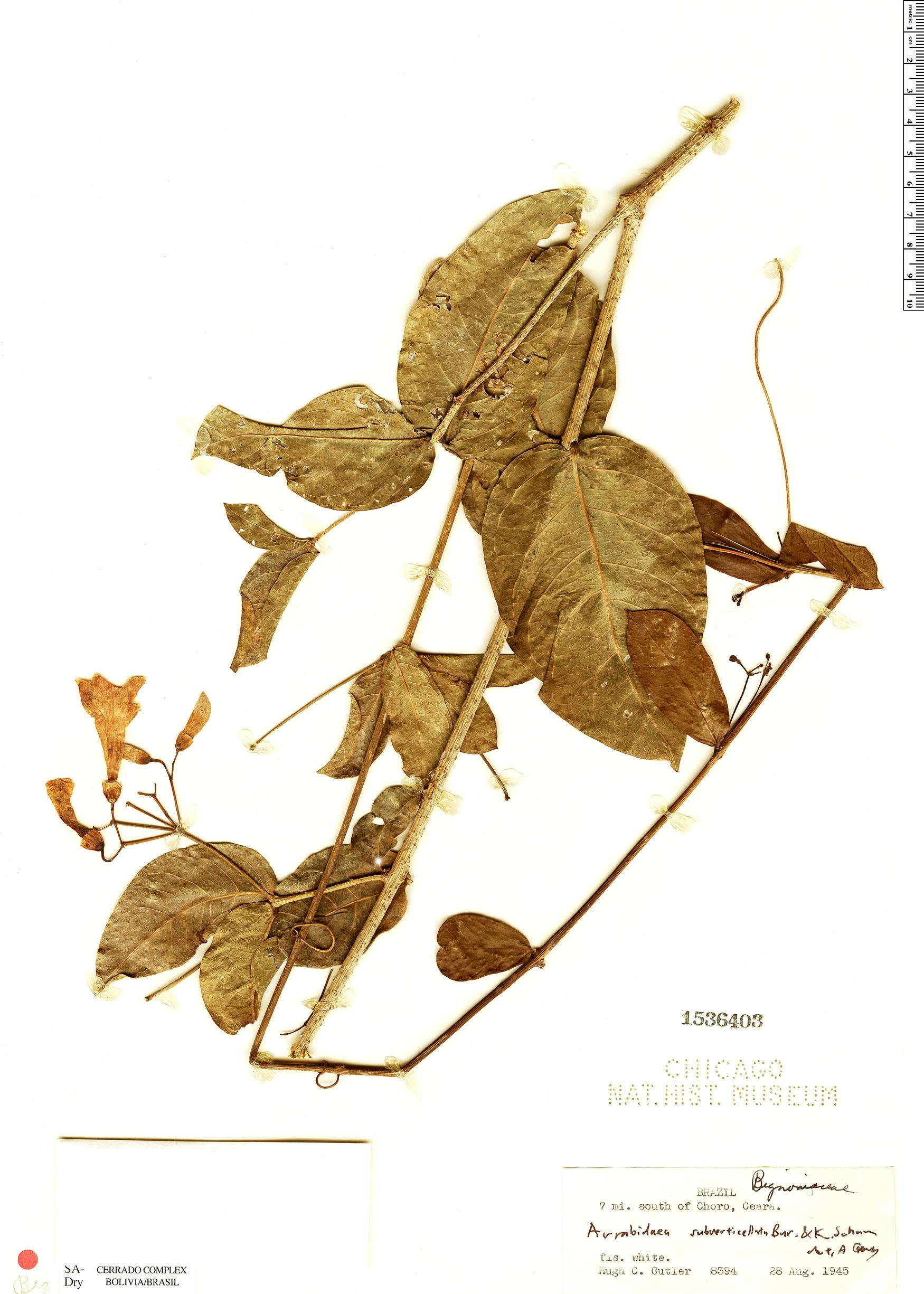 Specimen: Fridericia subverticillata