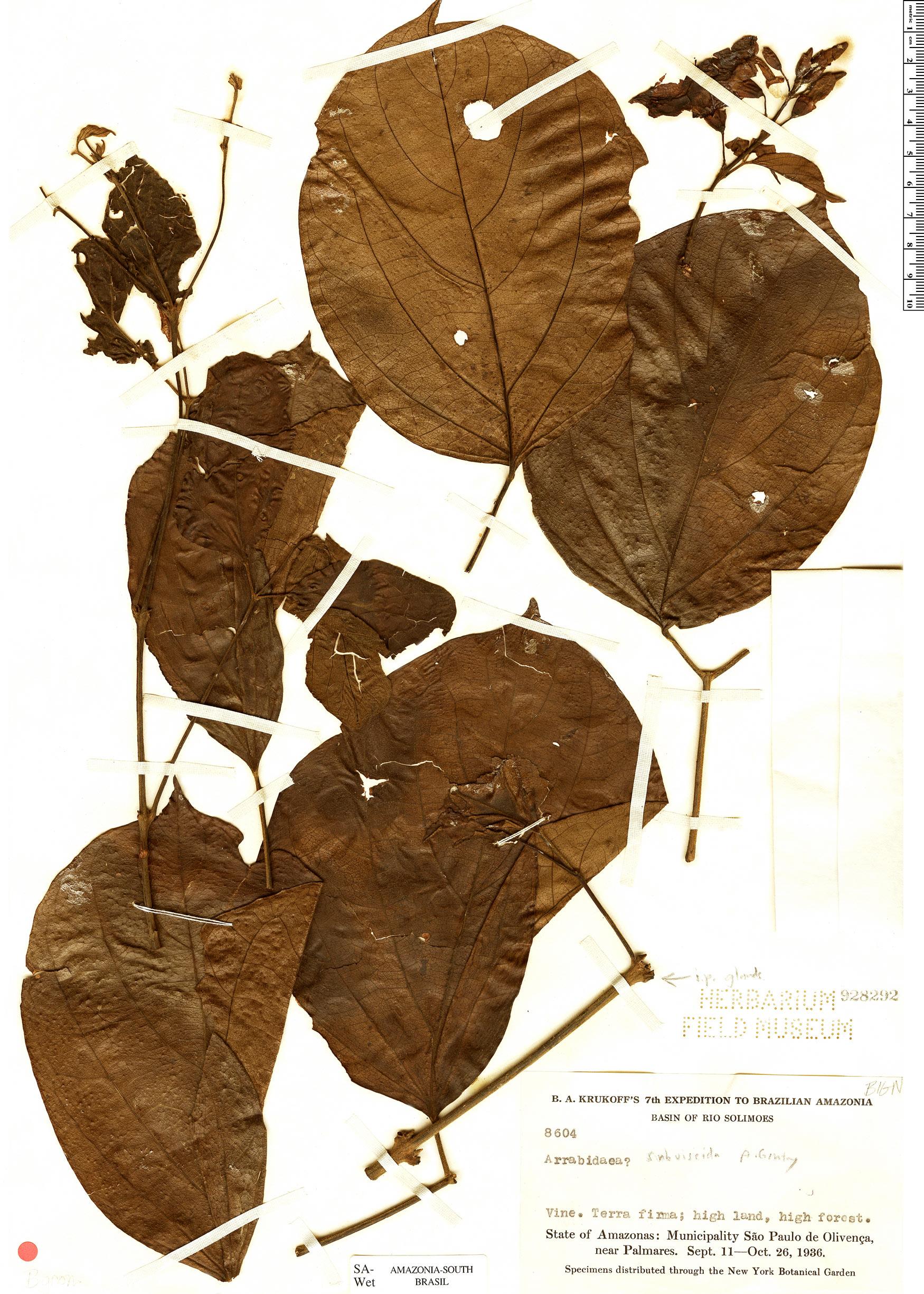 Specimen: Fridericia egensis
