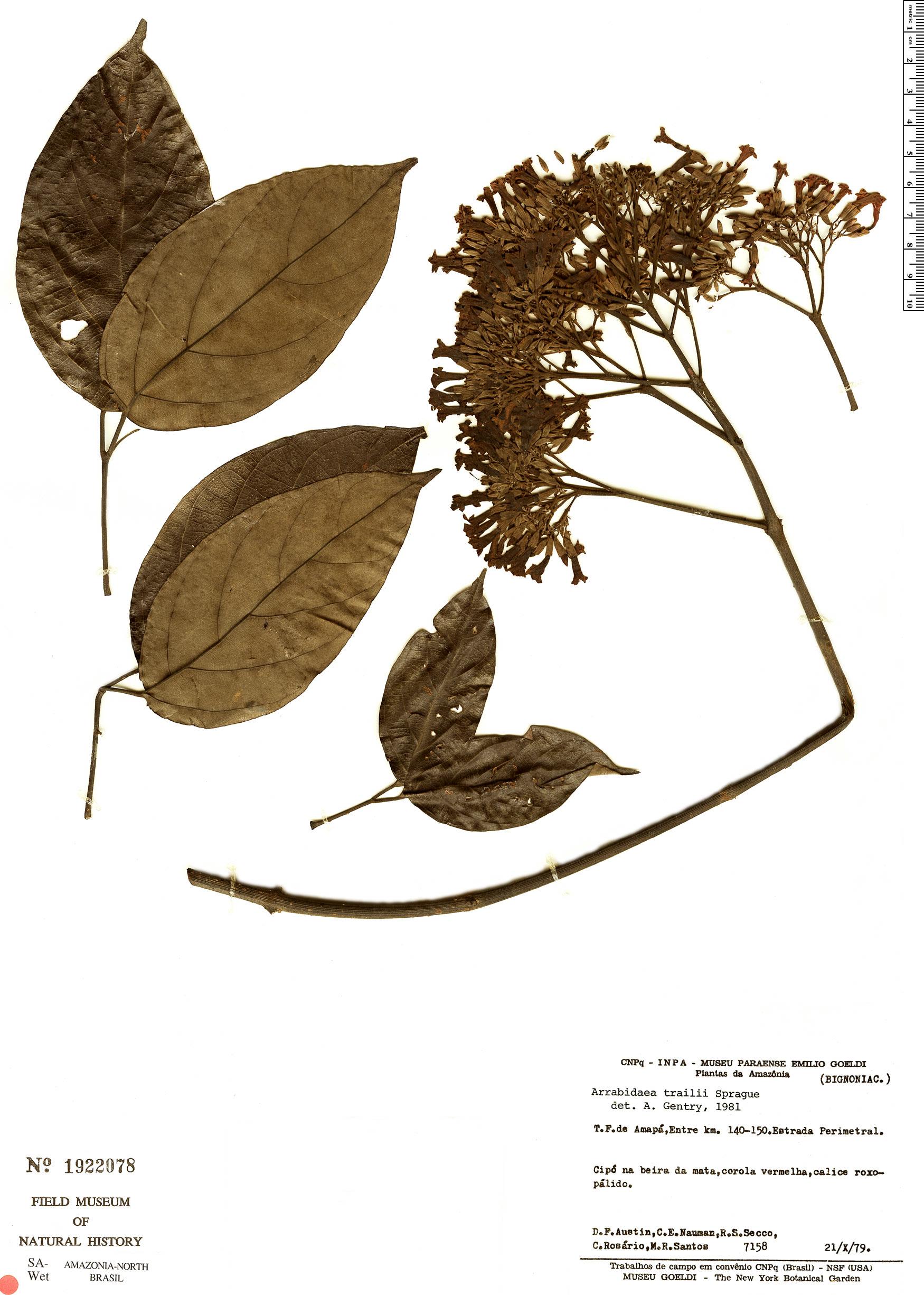 Espécime: Fridericia trailii