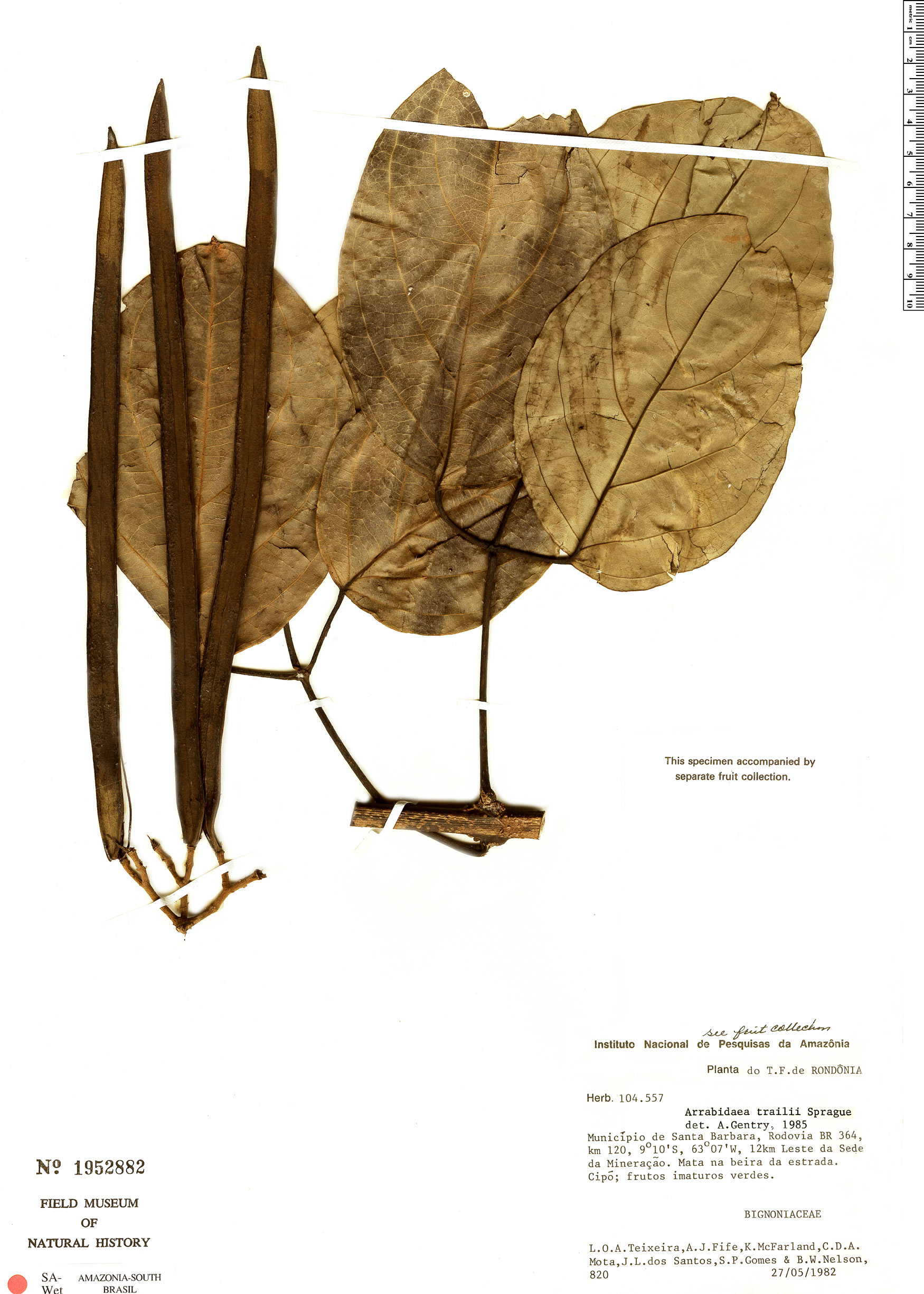 Specimen: Fridericia trailii
