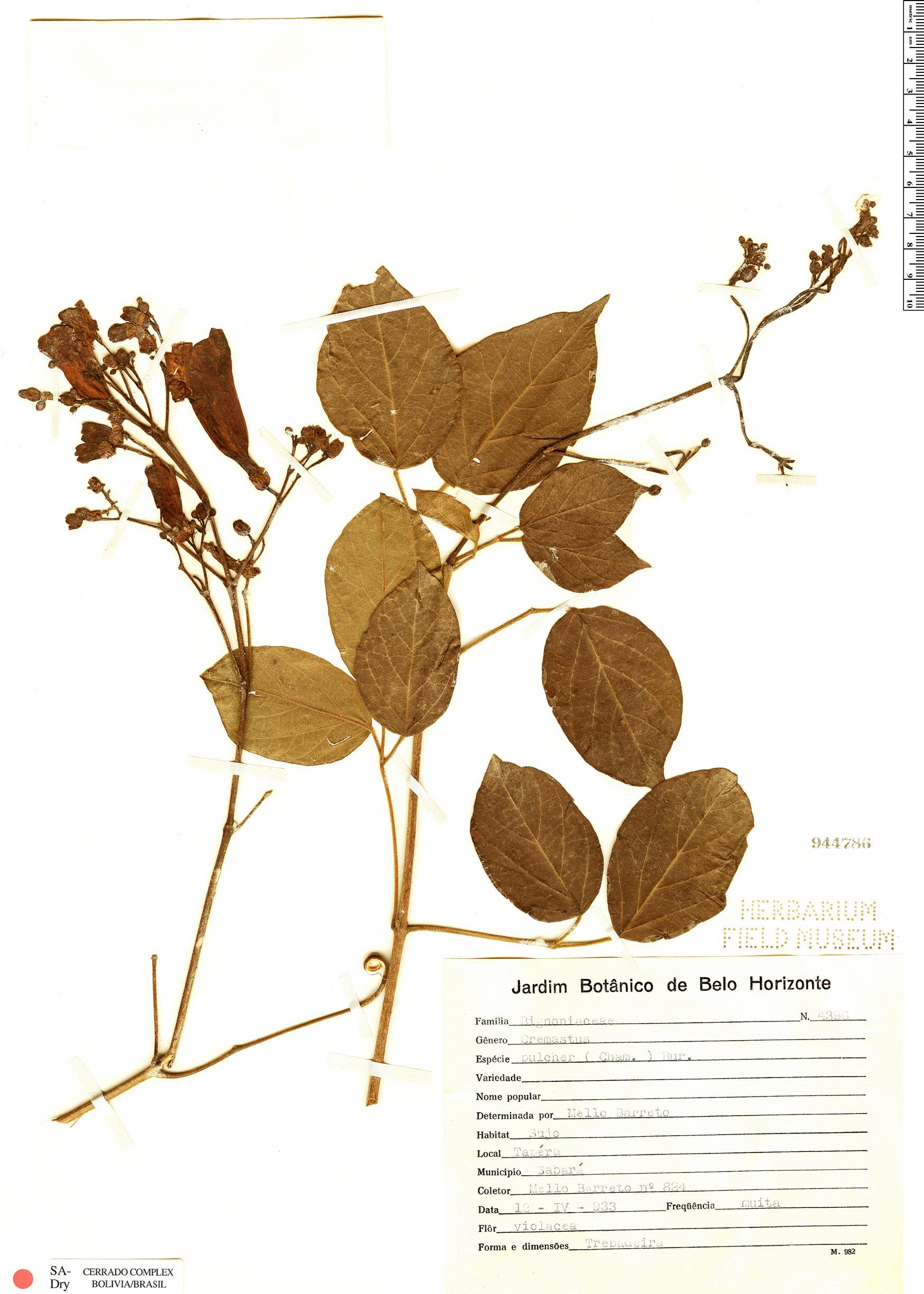 Specimen: Cuspidaria pulchra