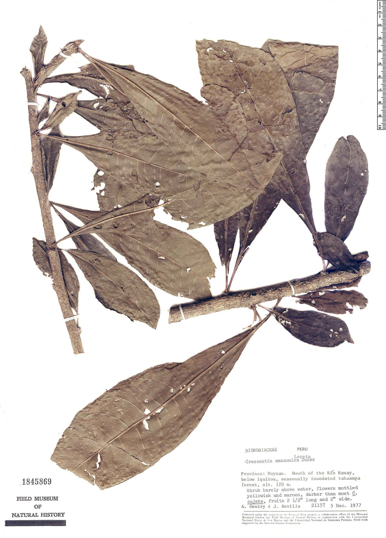 Specimen: Crescentia amazonica
