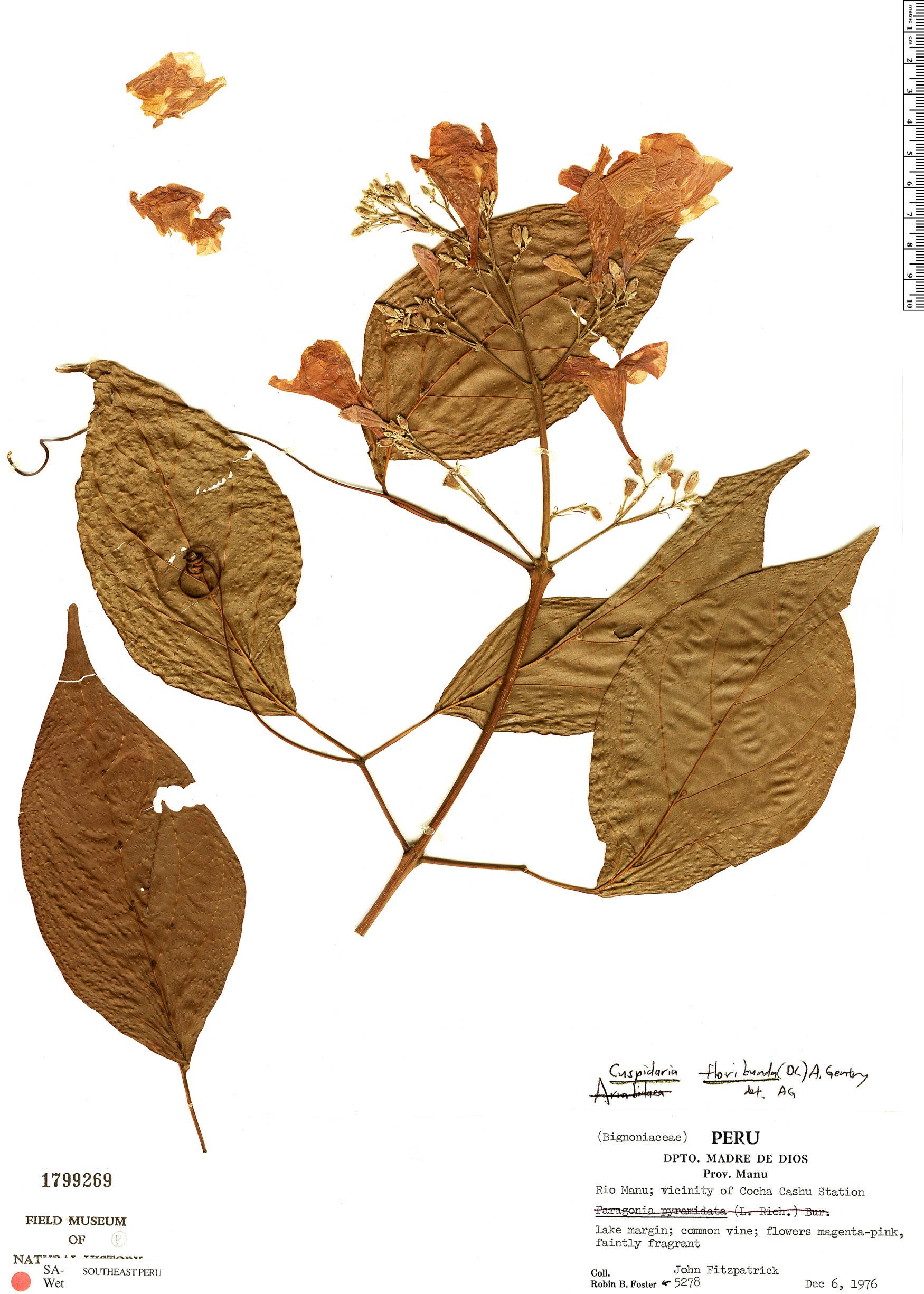 Specimen: Cuspidaria floribunda
