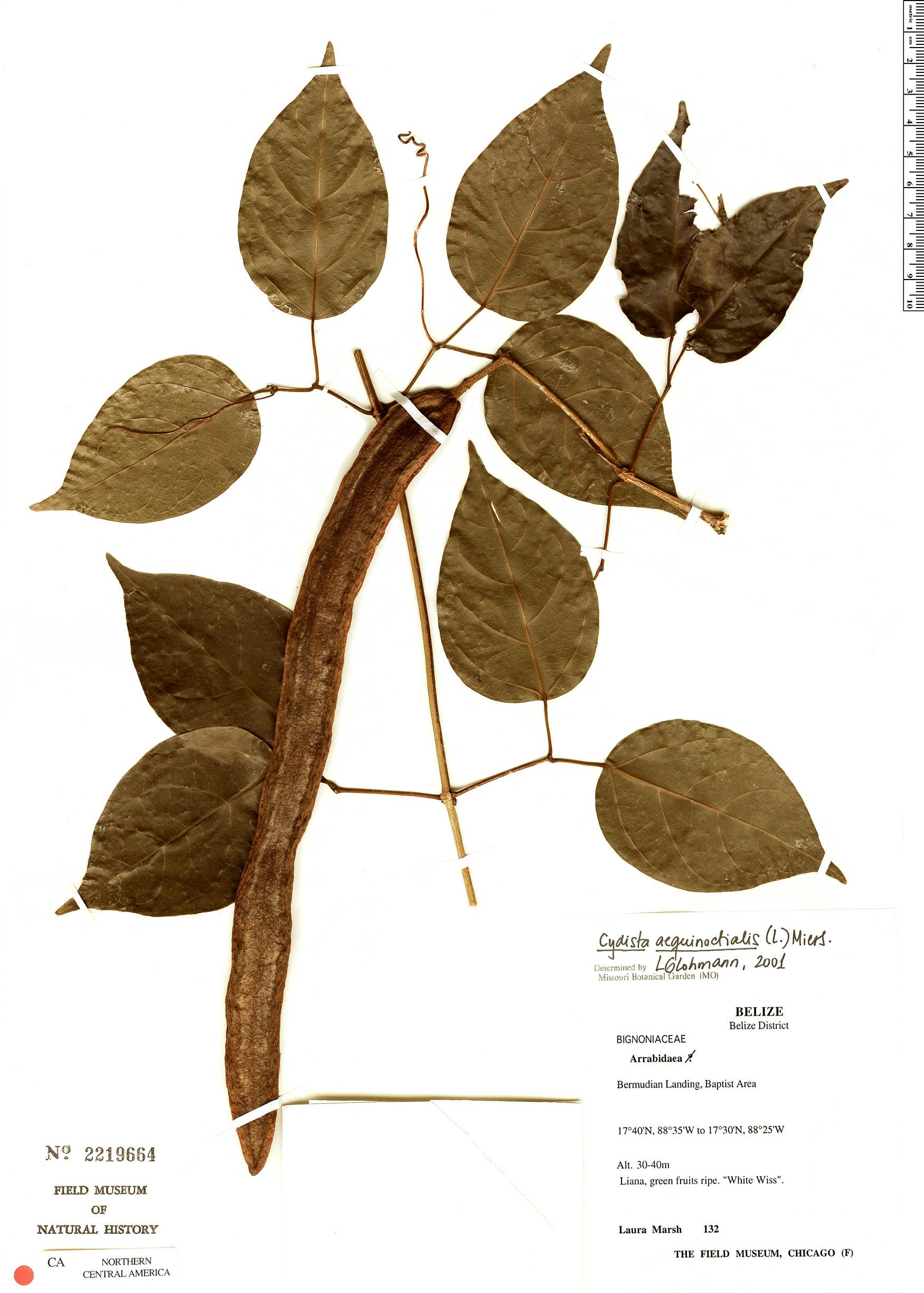 Espécime: Bignonia aequinoctialis