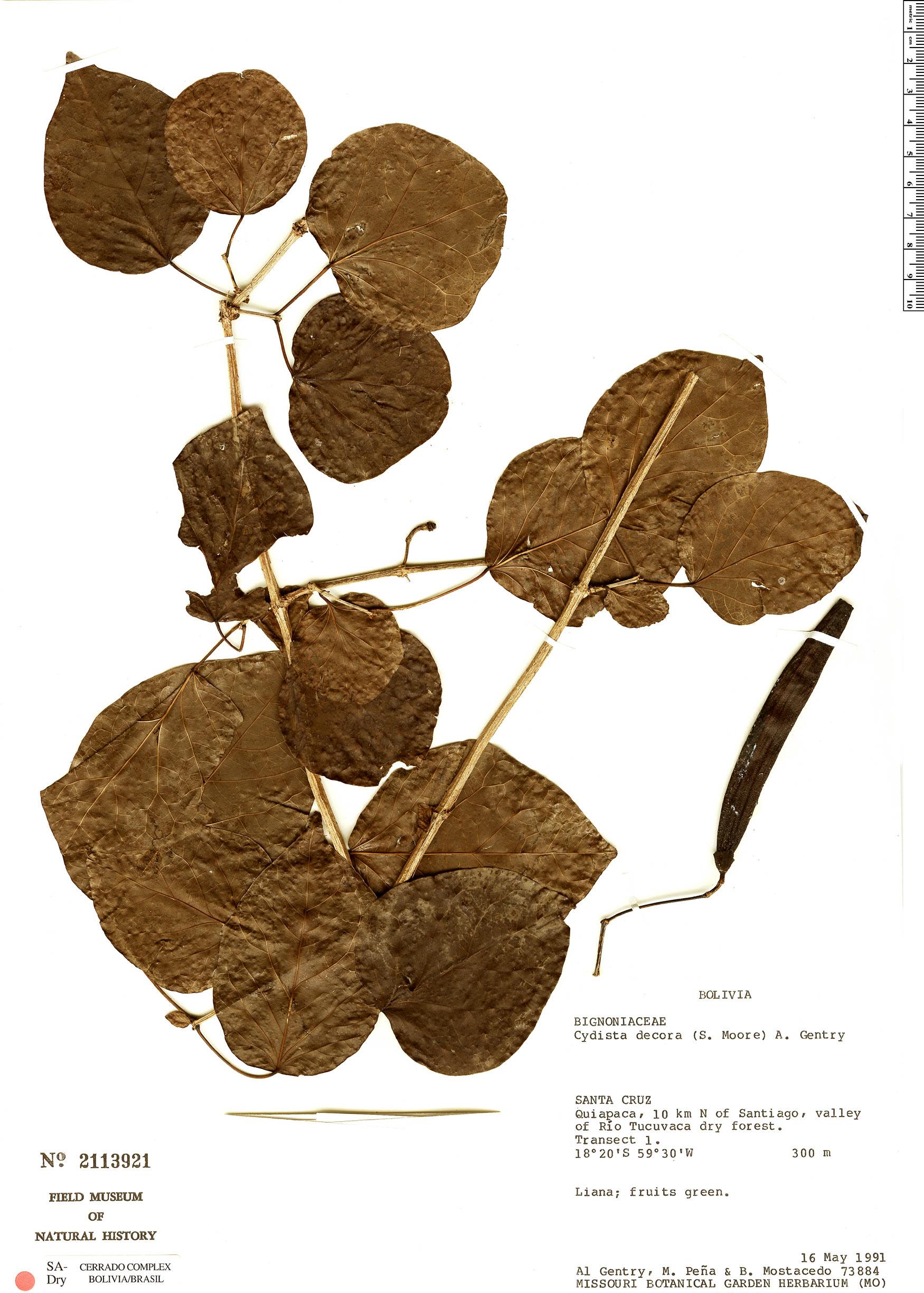 Specimen: Bignonia decora