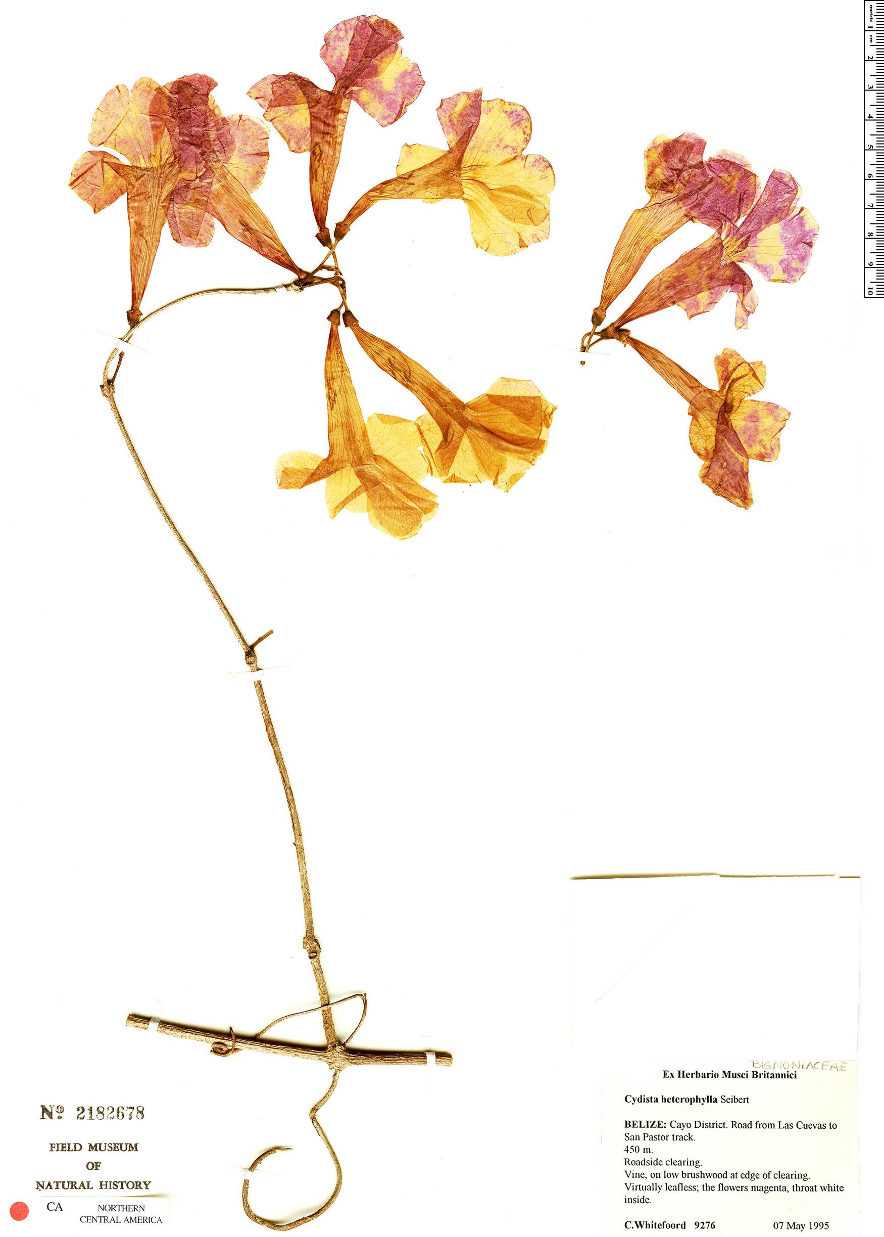 Specimen: Bignonia neoheterophylla