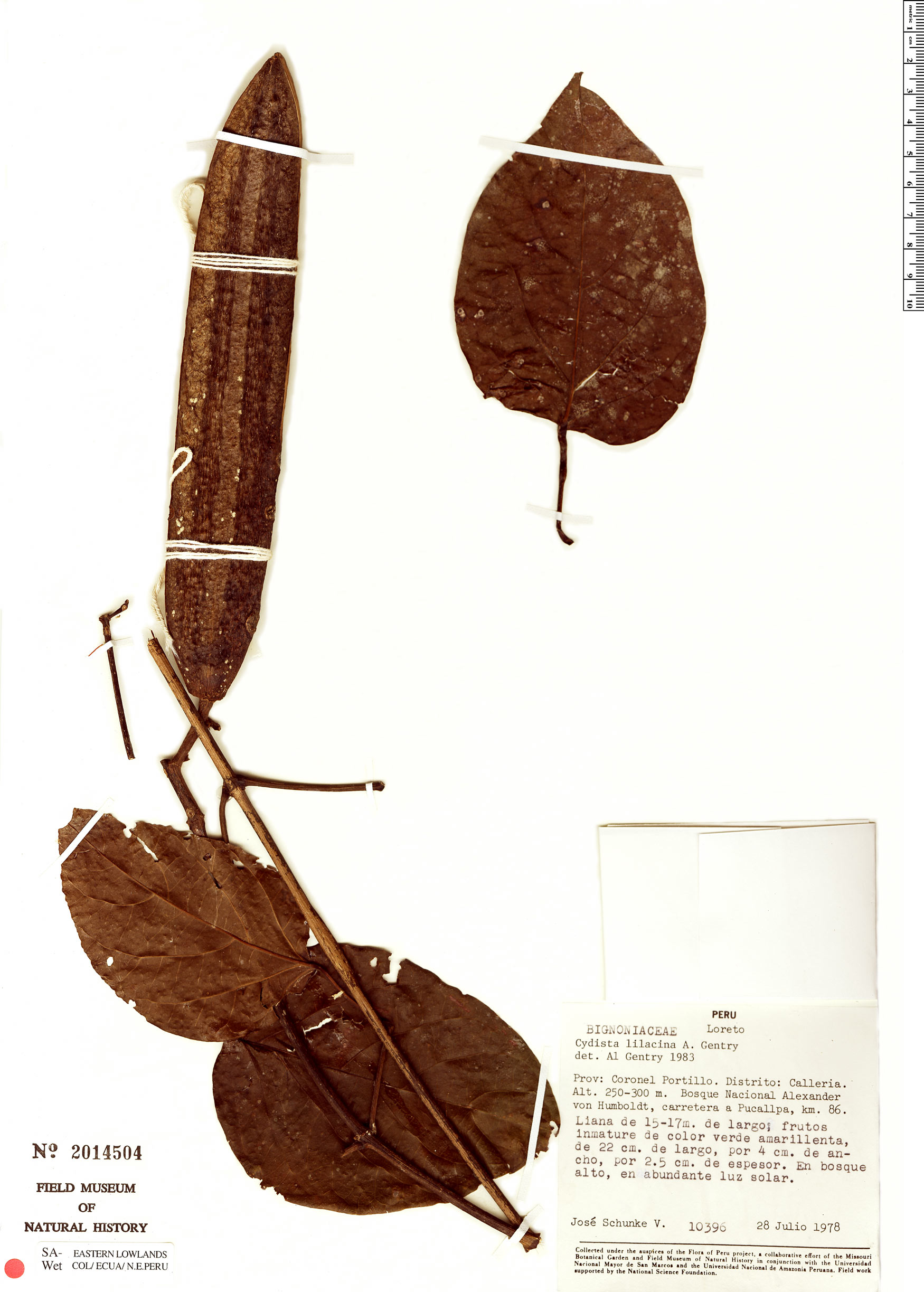 Specimen: Bignonia lilacina