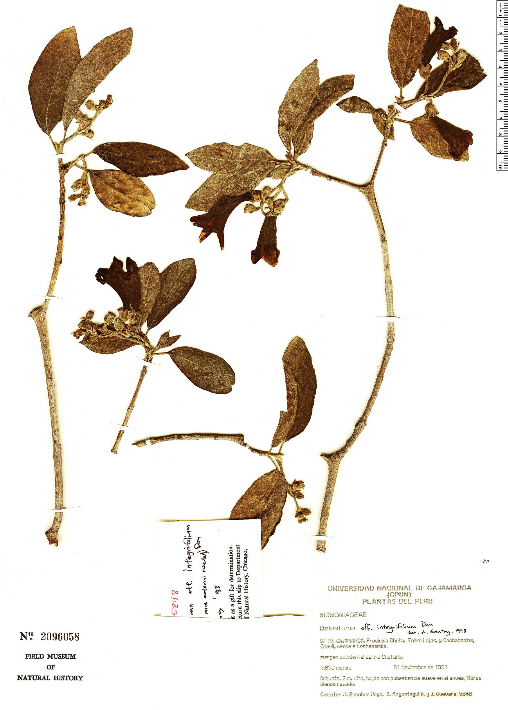 Espécimen: Delostoma integrifolium