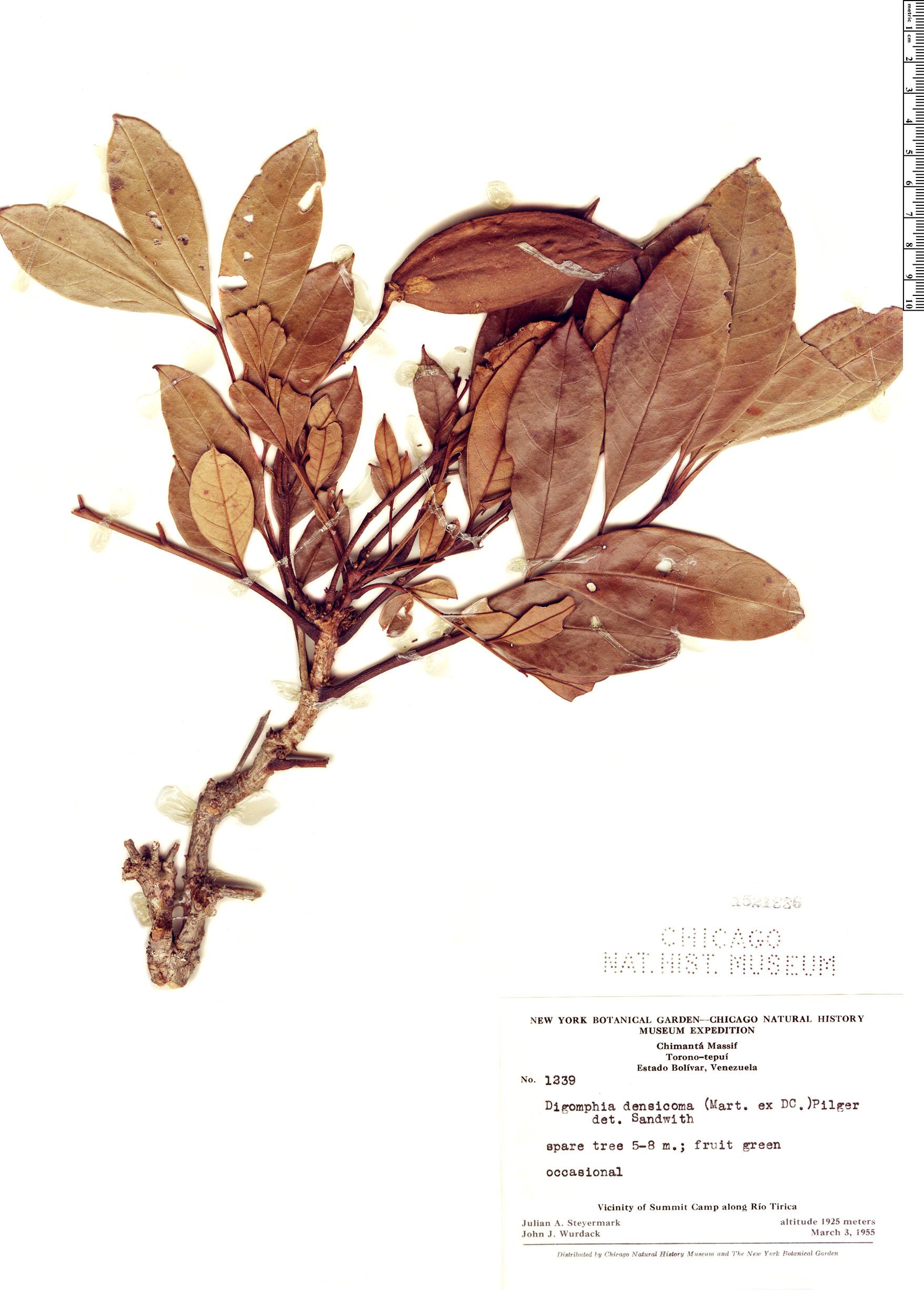 Specimen: Digomphia densicoma