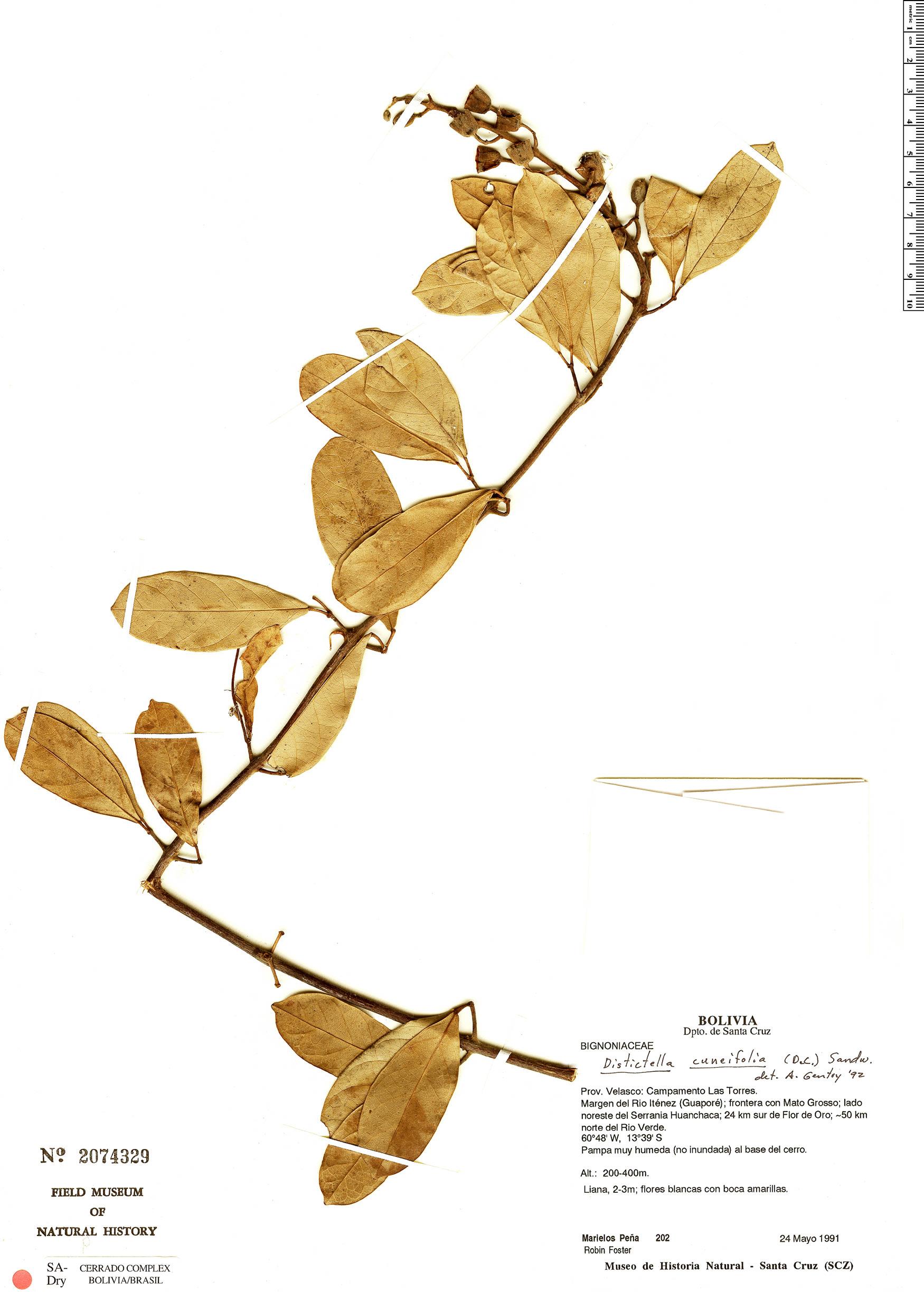 Specimen: Amphilophium cuneifolium