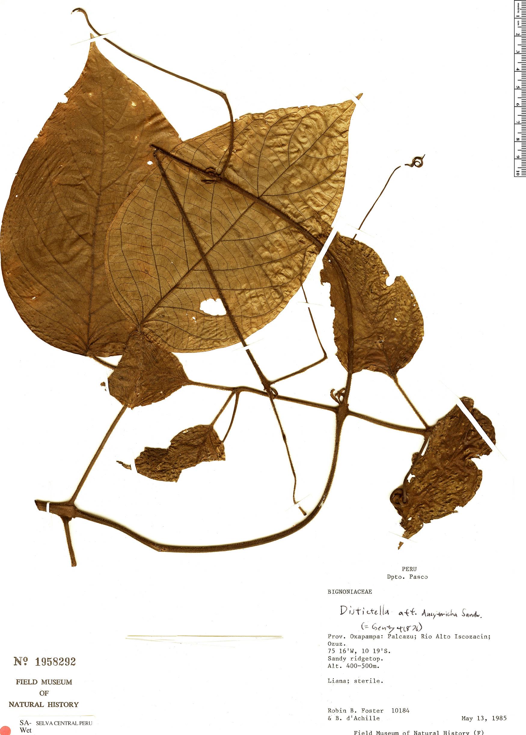Specimen: Amphilophium dasytrichum