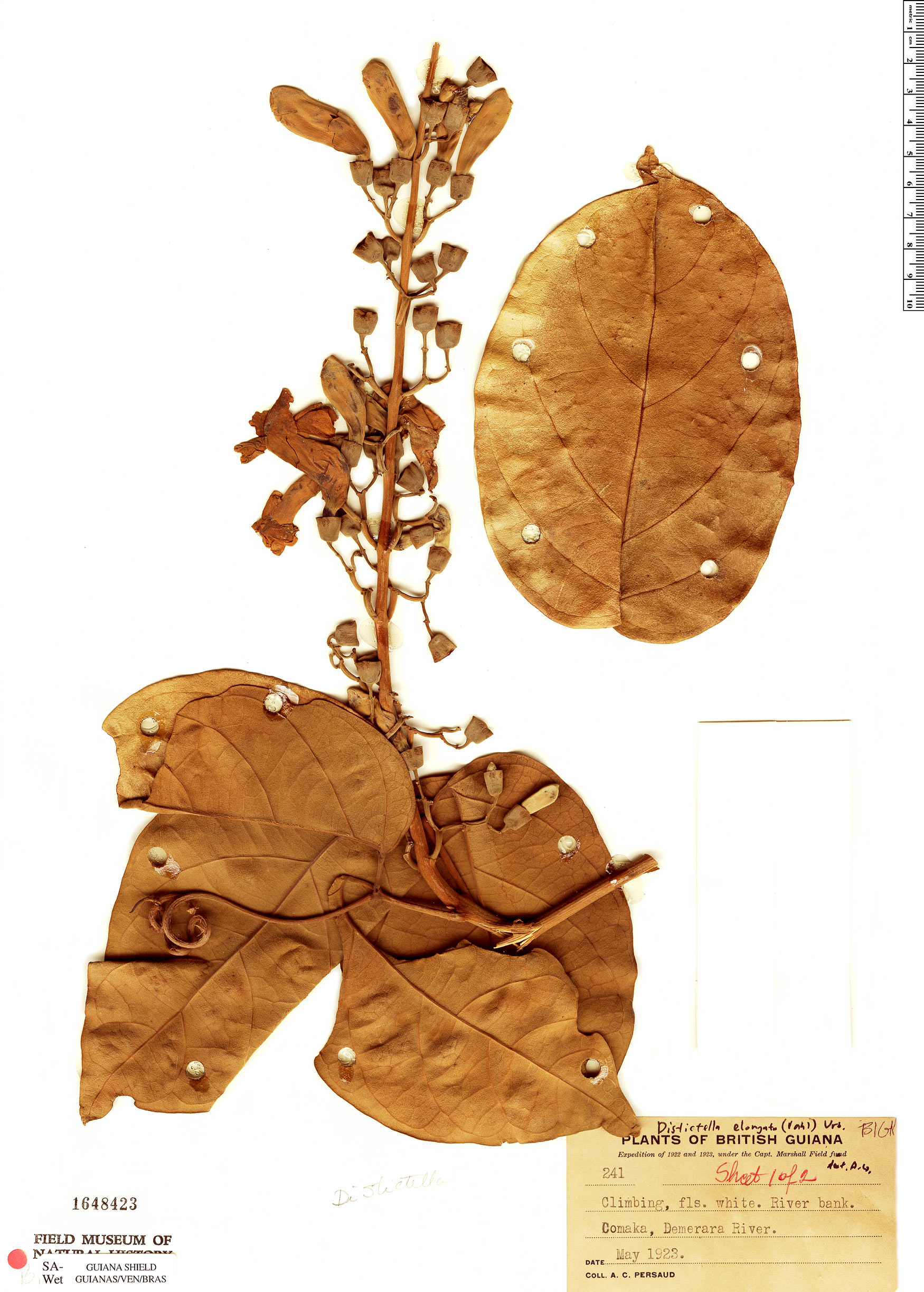 Specimen: Amphilophium parkeri