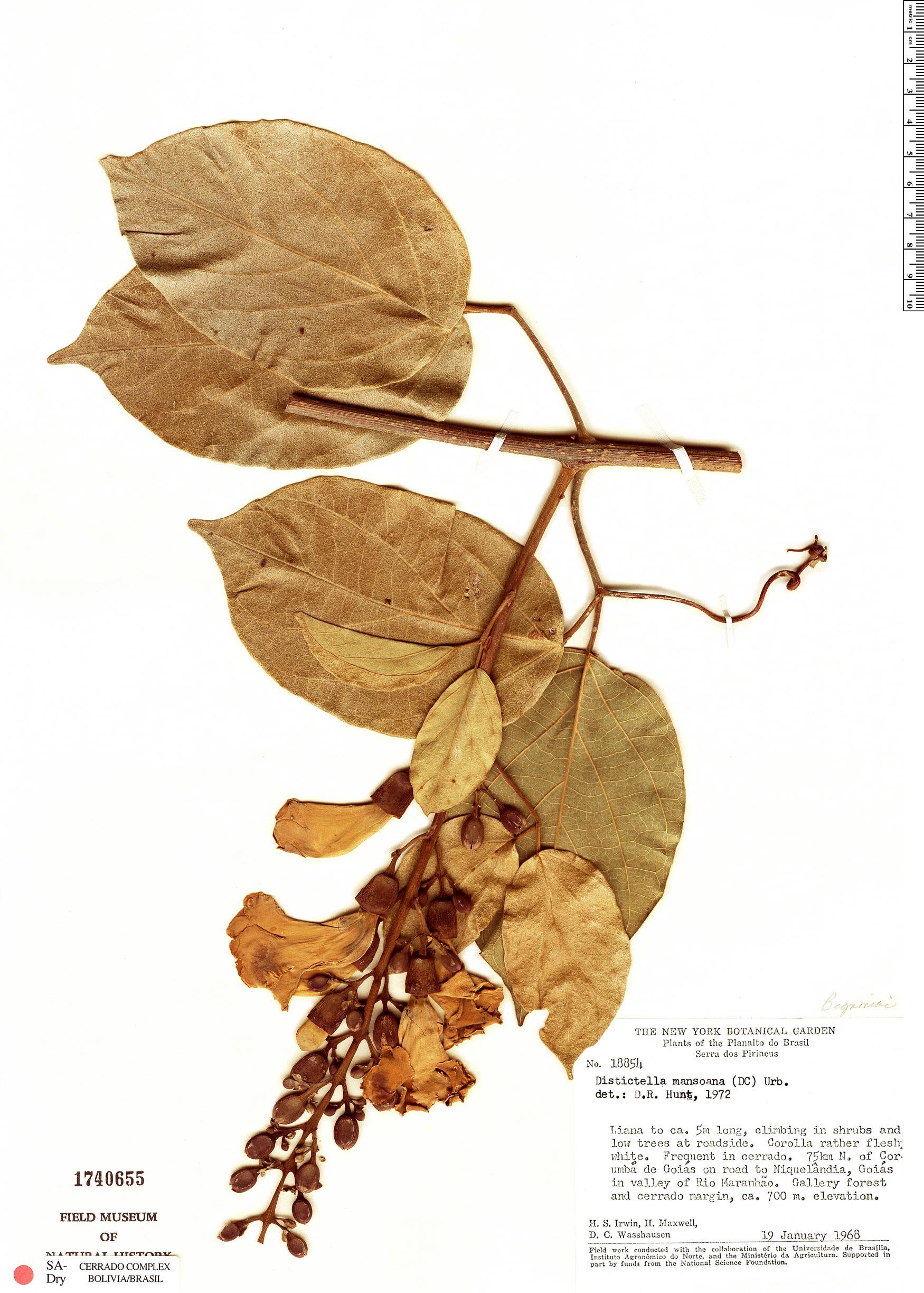 Espécimen: Amphilophium mansoanum
