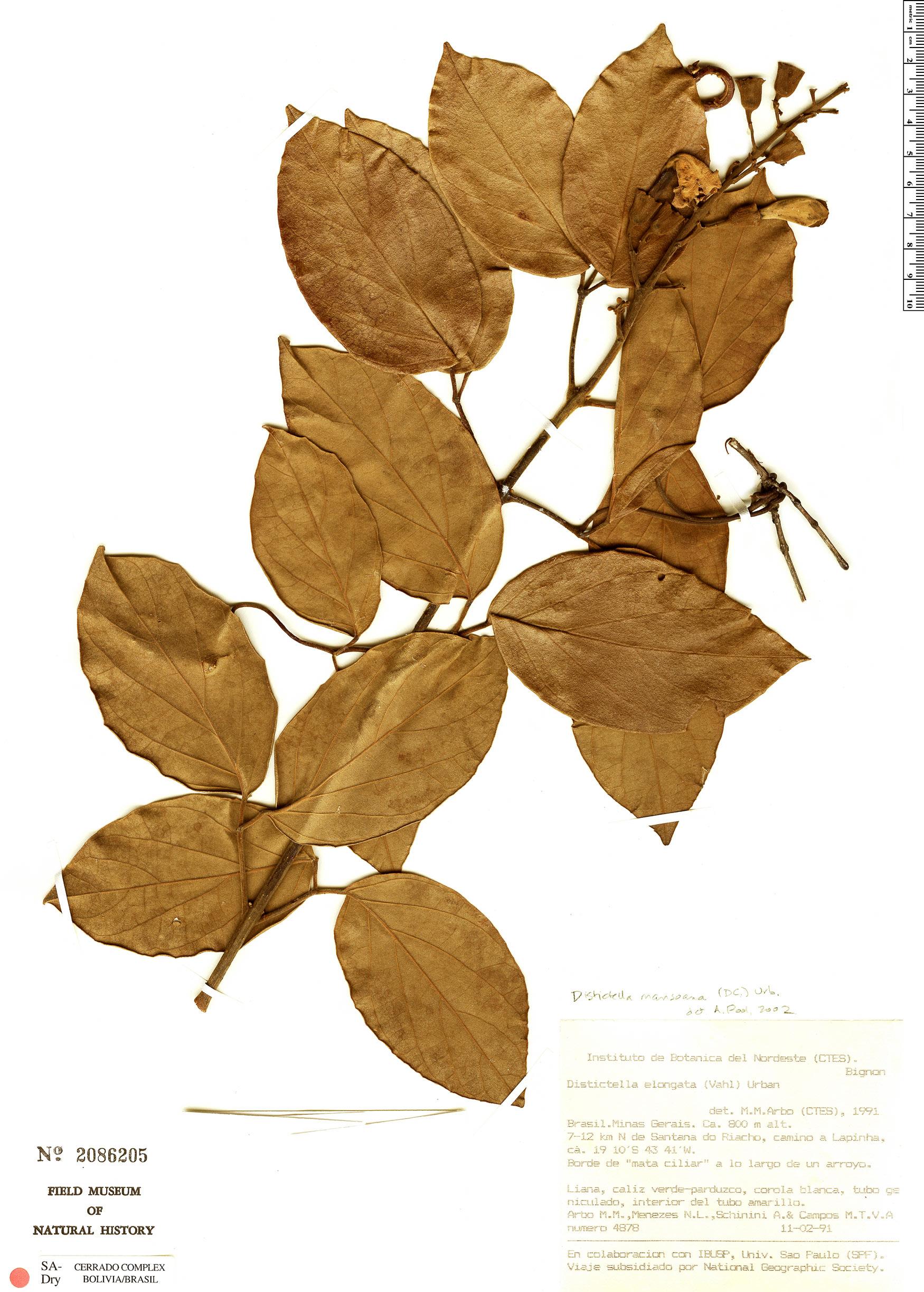 Specimen: Amphilophium mansoanum