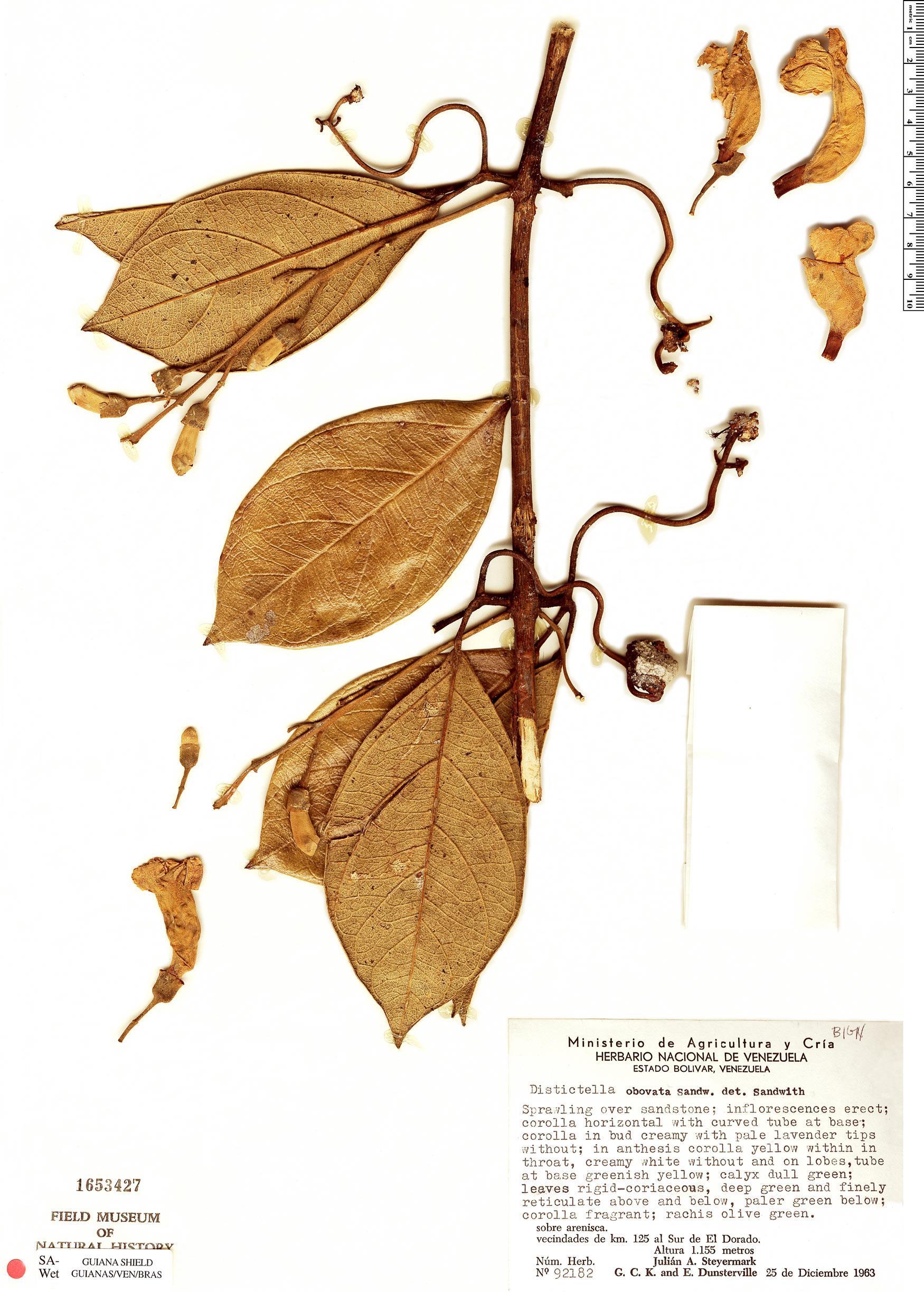 Specimen: Amphilophium obovatum