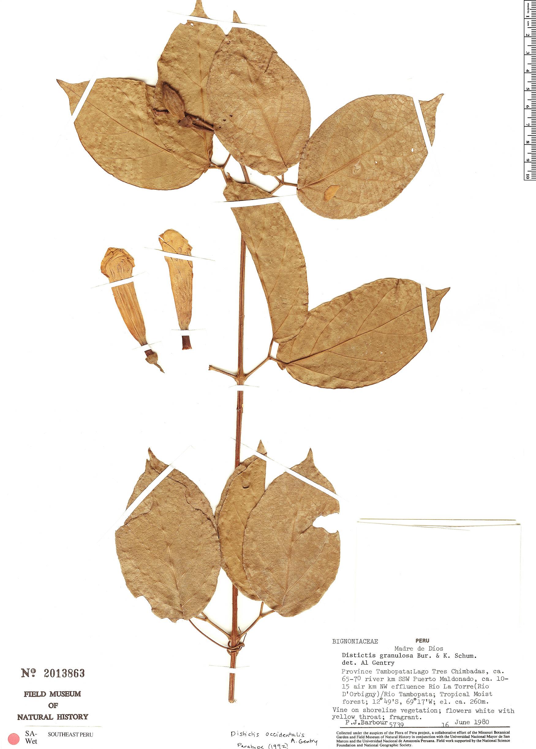 Specimen: Amphilophium occidentale
