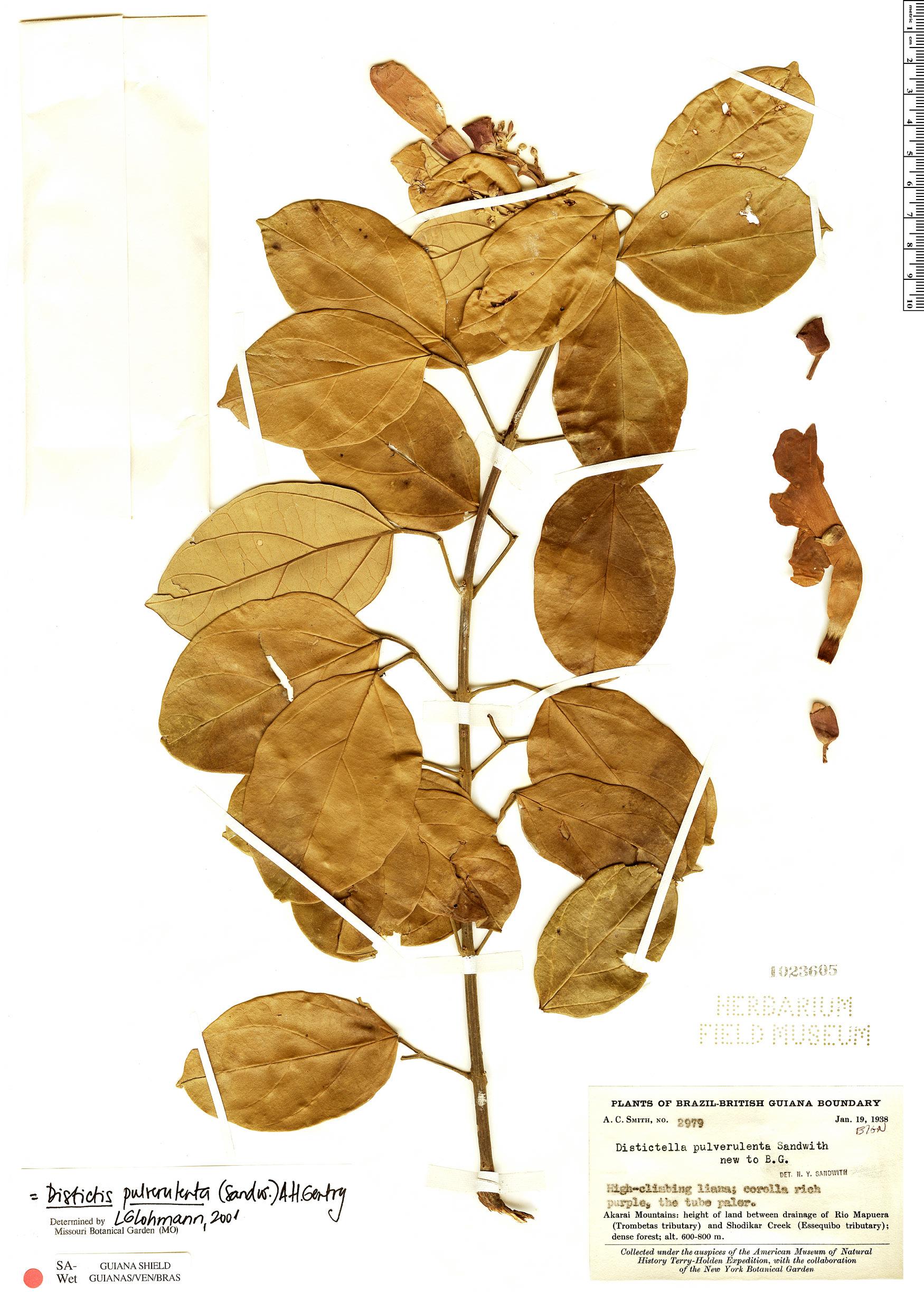 Specimen: Amphilophium pulverulentum