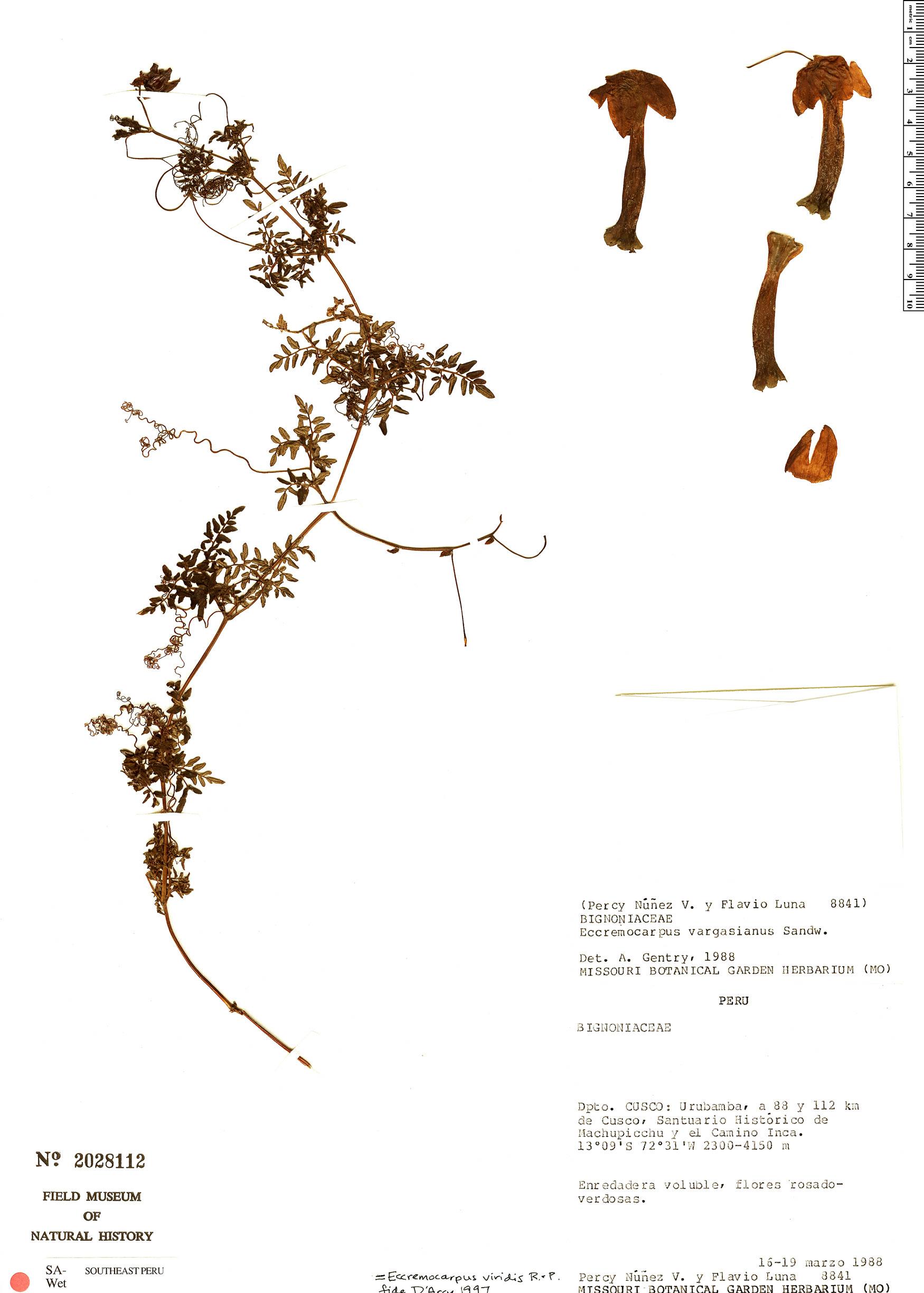 Specimen: Eccremocarpus viridis