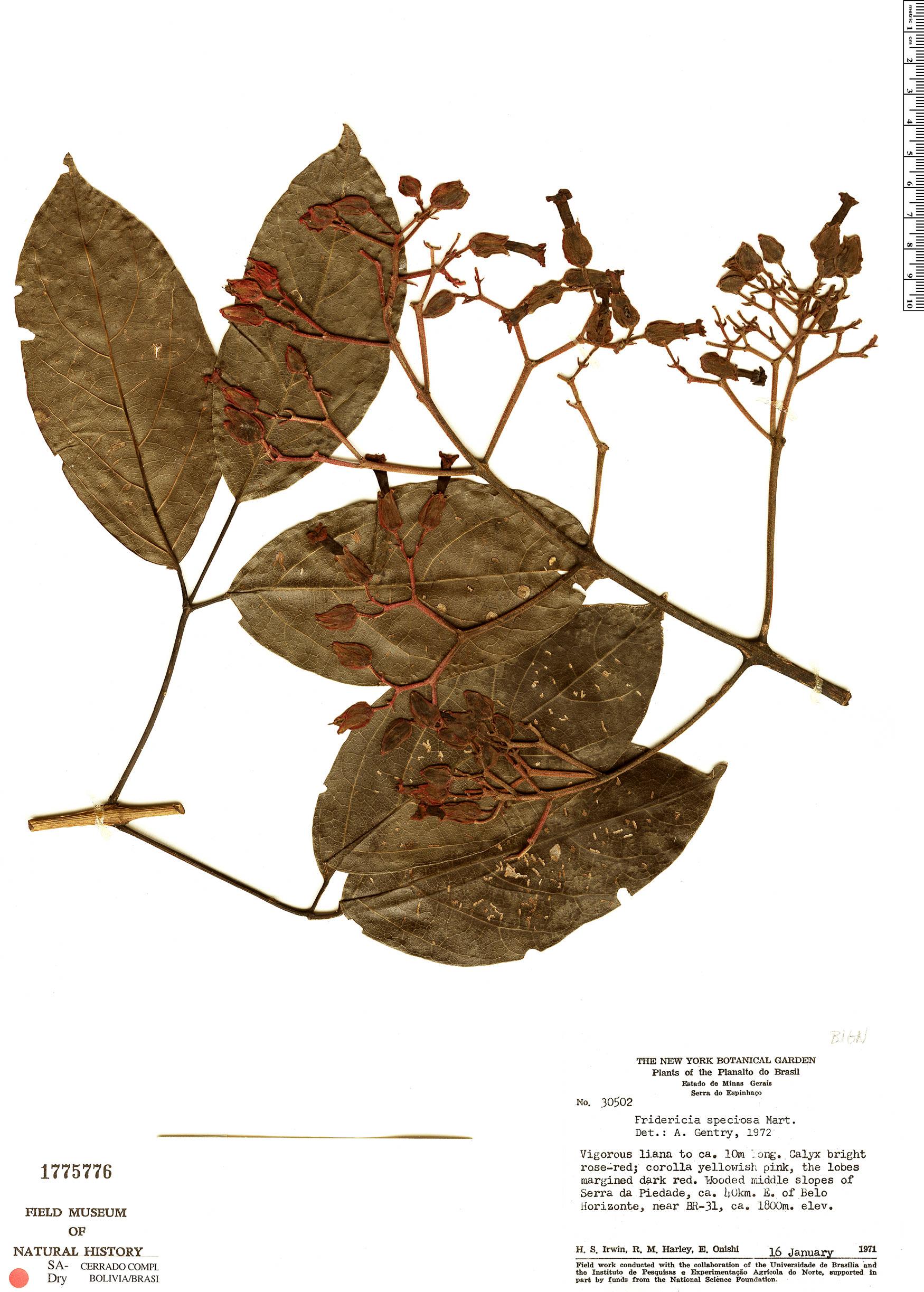 Specimen: Fridericia speciosa