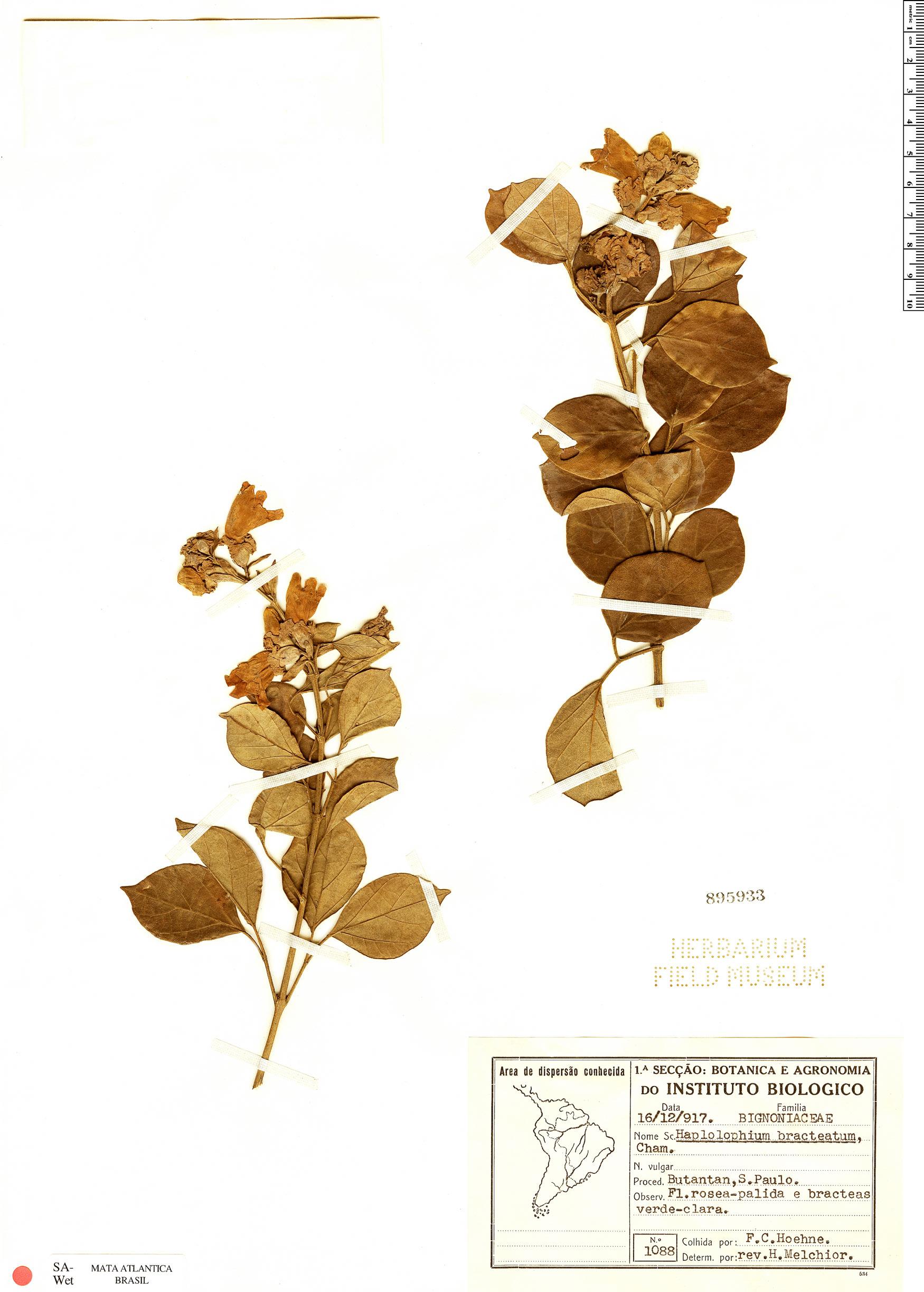 Espécimen: Amphilophium bracteatum