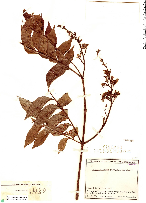 Espécimen: Jacaranda copaia