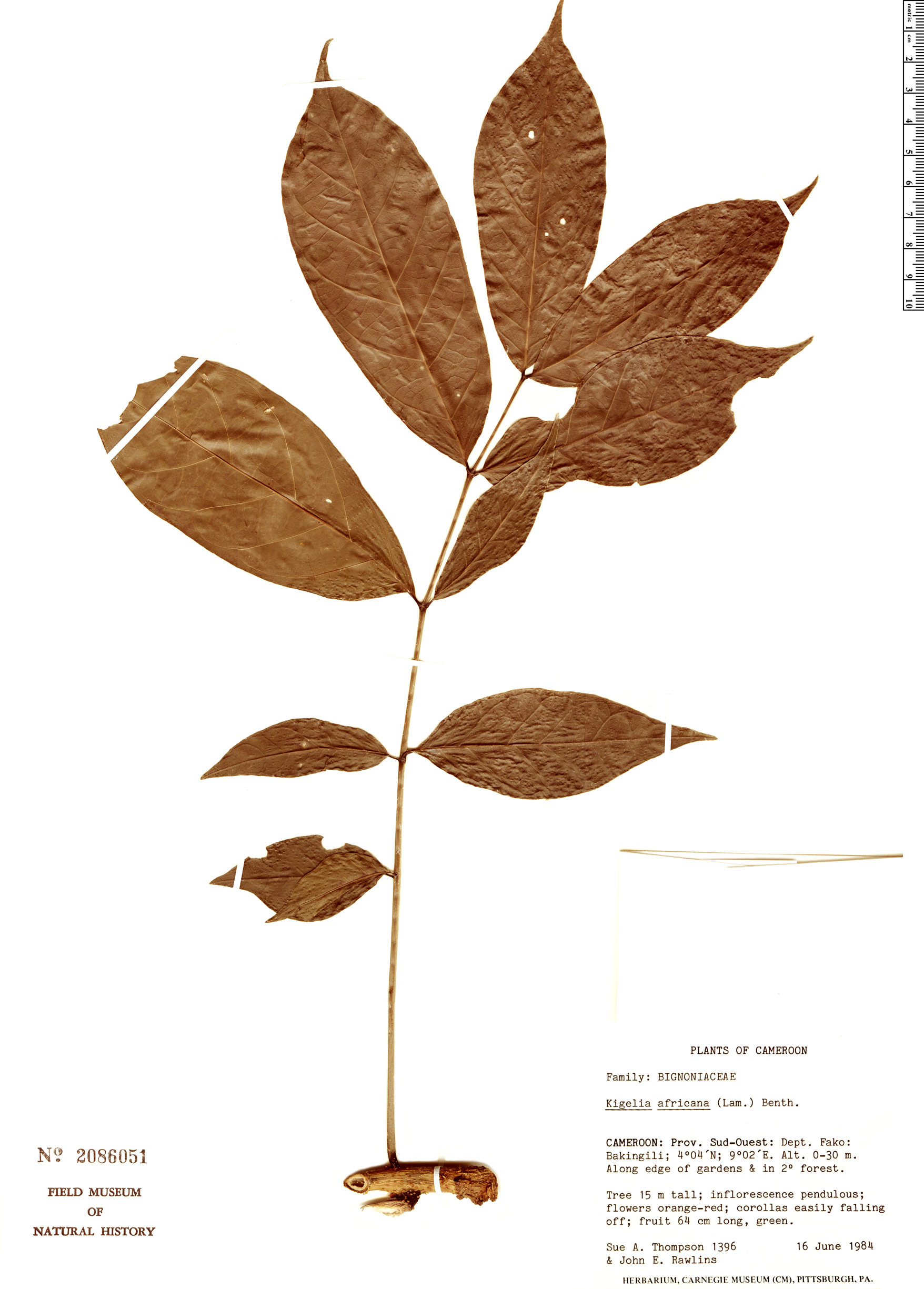 Specimen: Kigelia africana