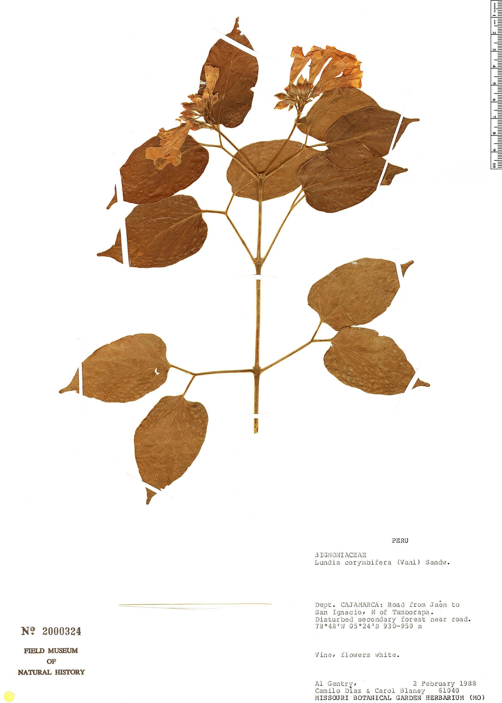 Specimen: Lundia corymbifera