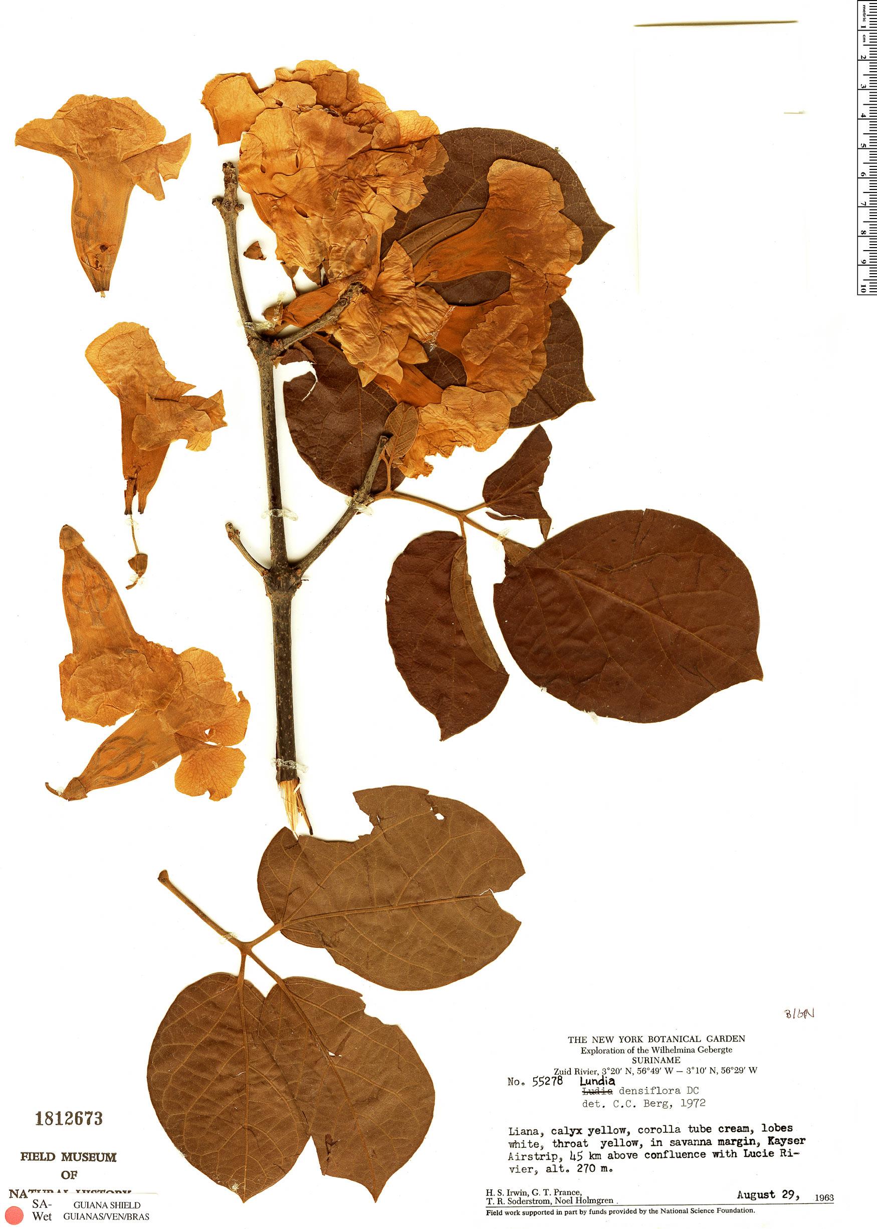 Specimen: Lundia densiflora