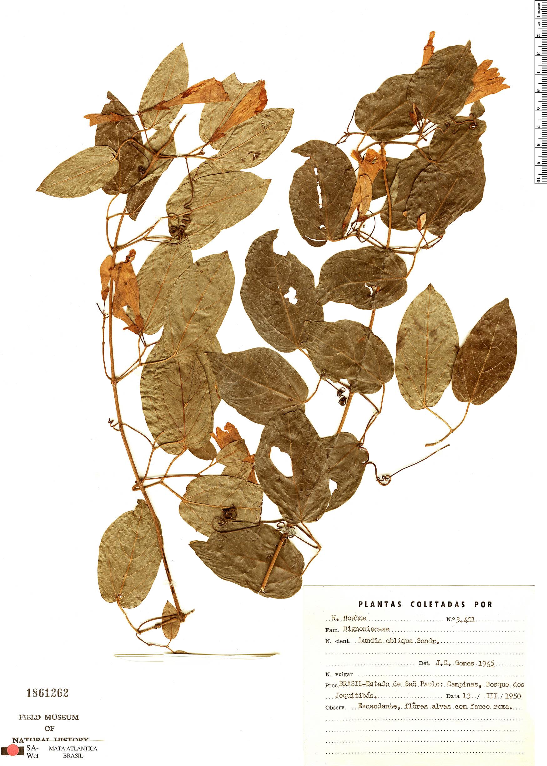 Specimen: Lundia obliqua