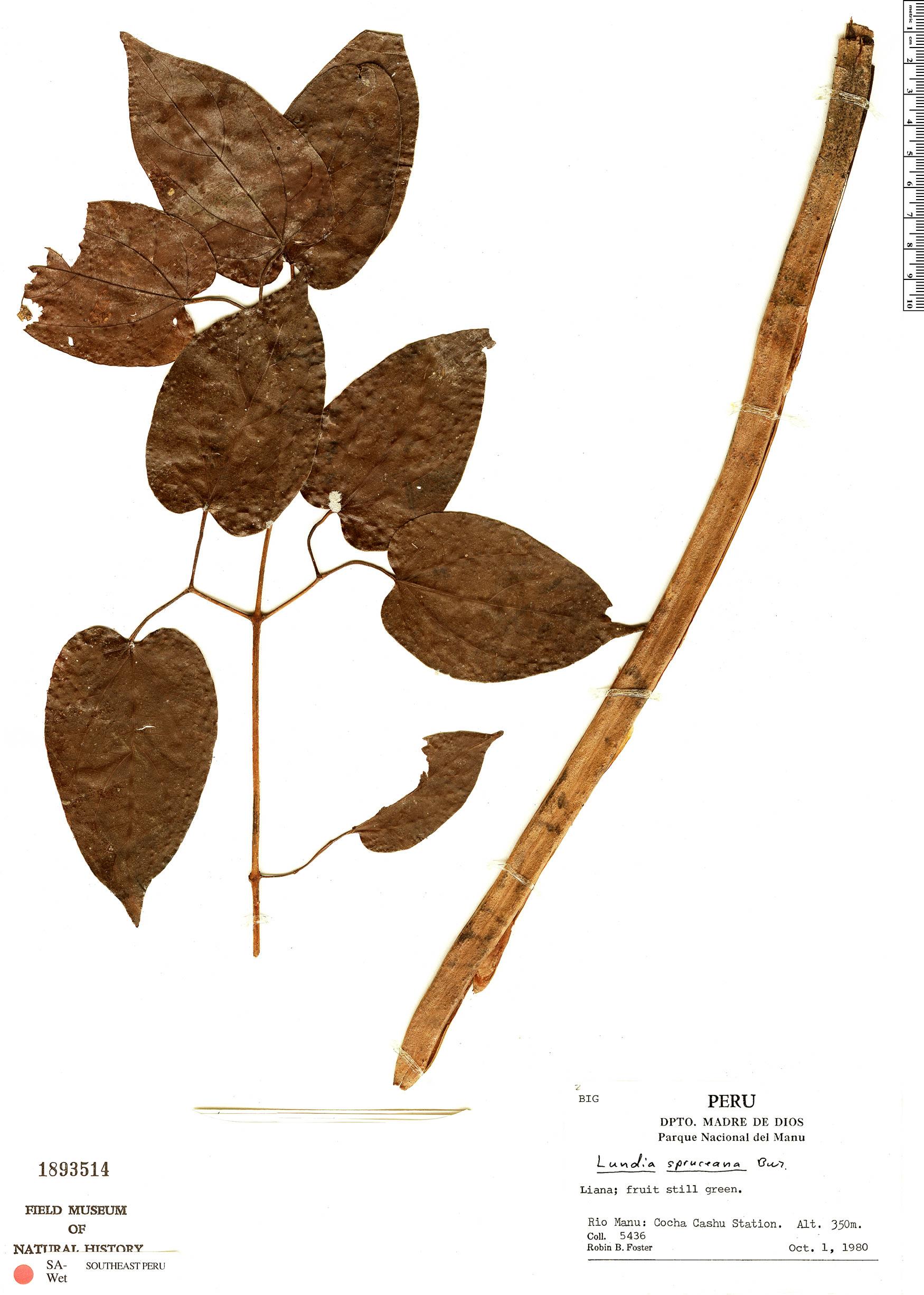 Specimen: Lundia spruceana