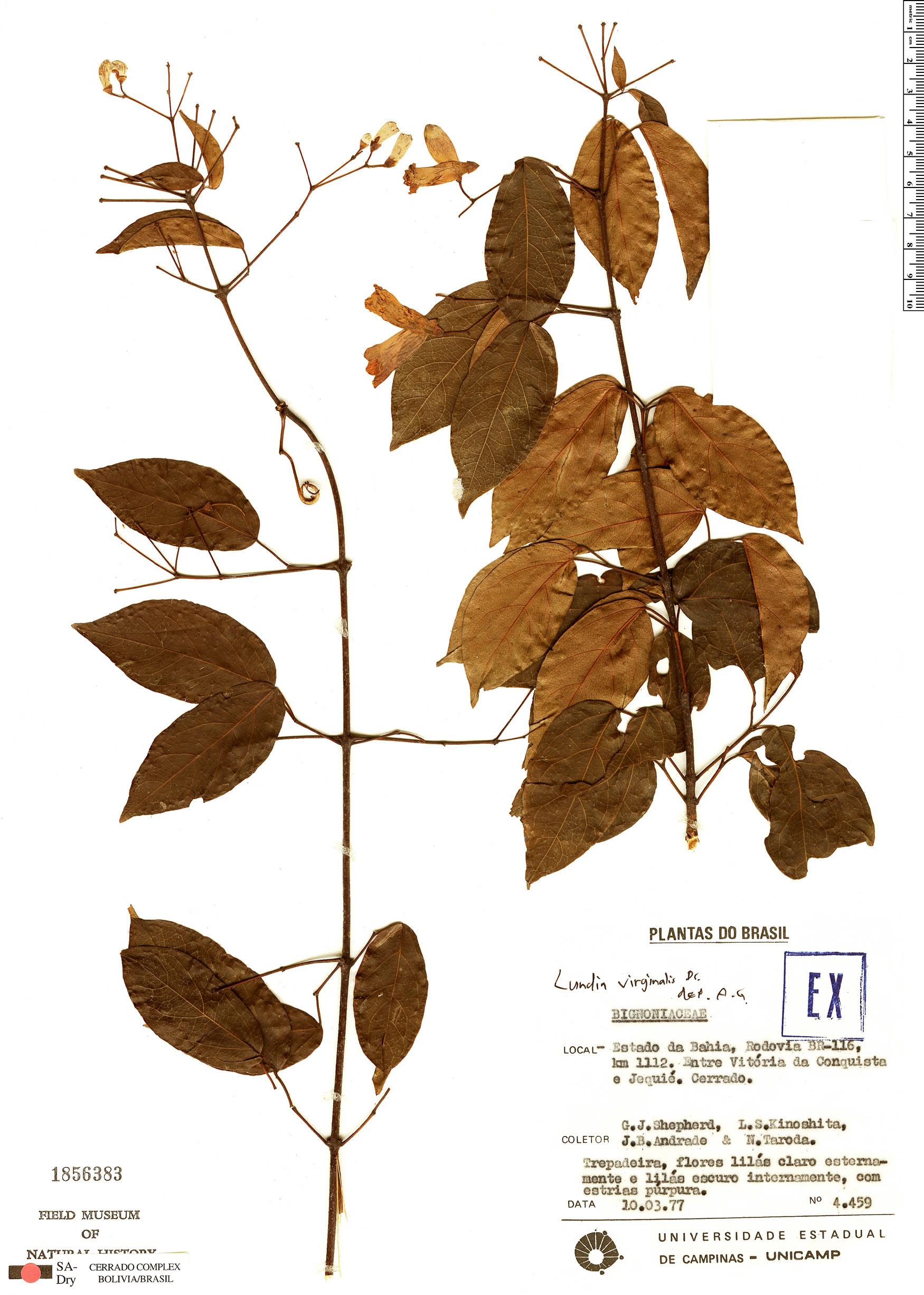 Specimen: Lundia virginalis