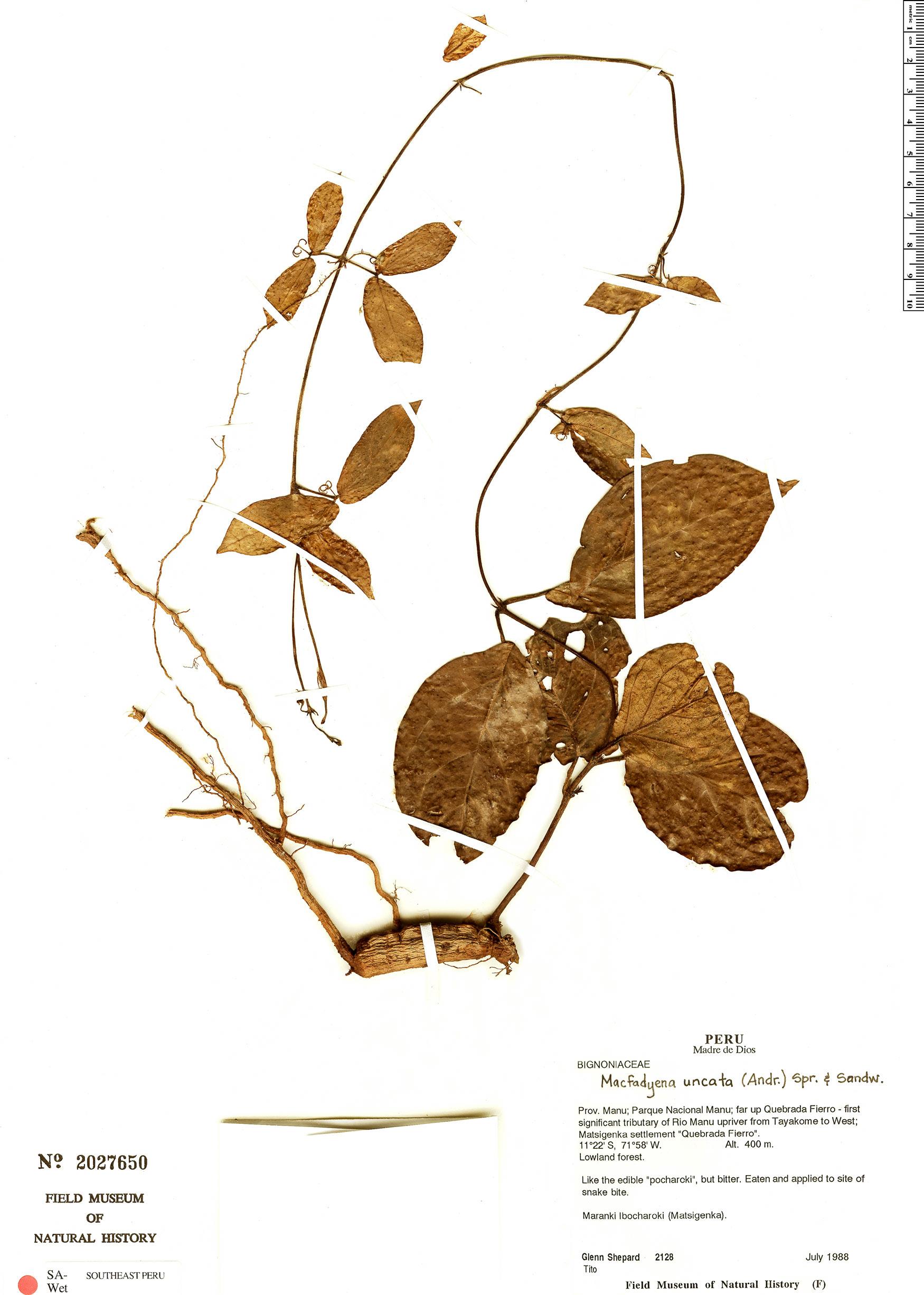Specimen: Dolichandra uncata